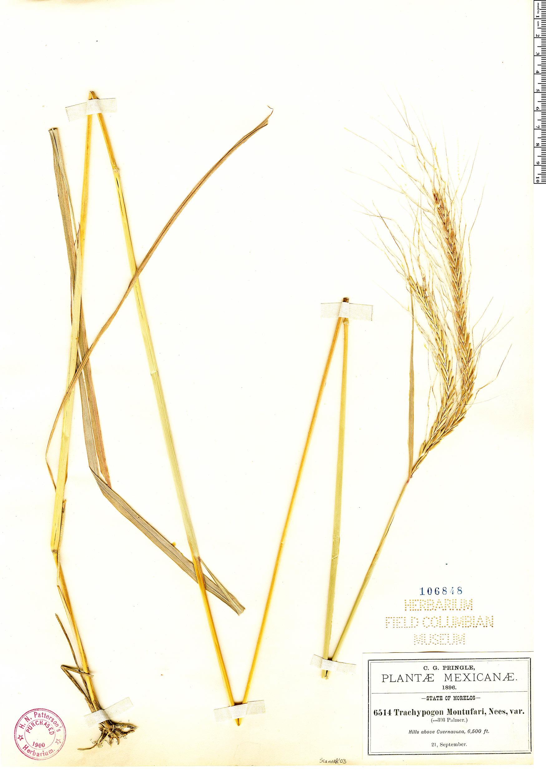 Specimen: Trachypogon spicatus