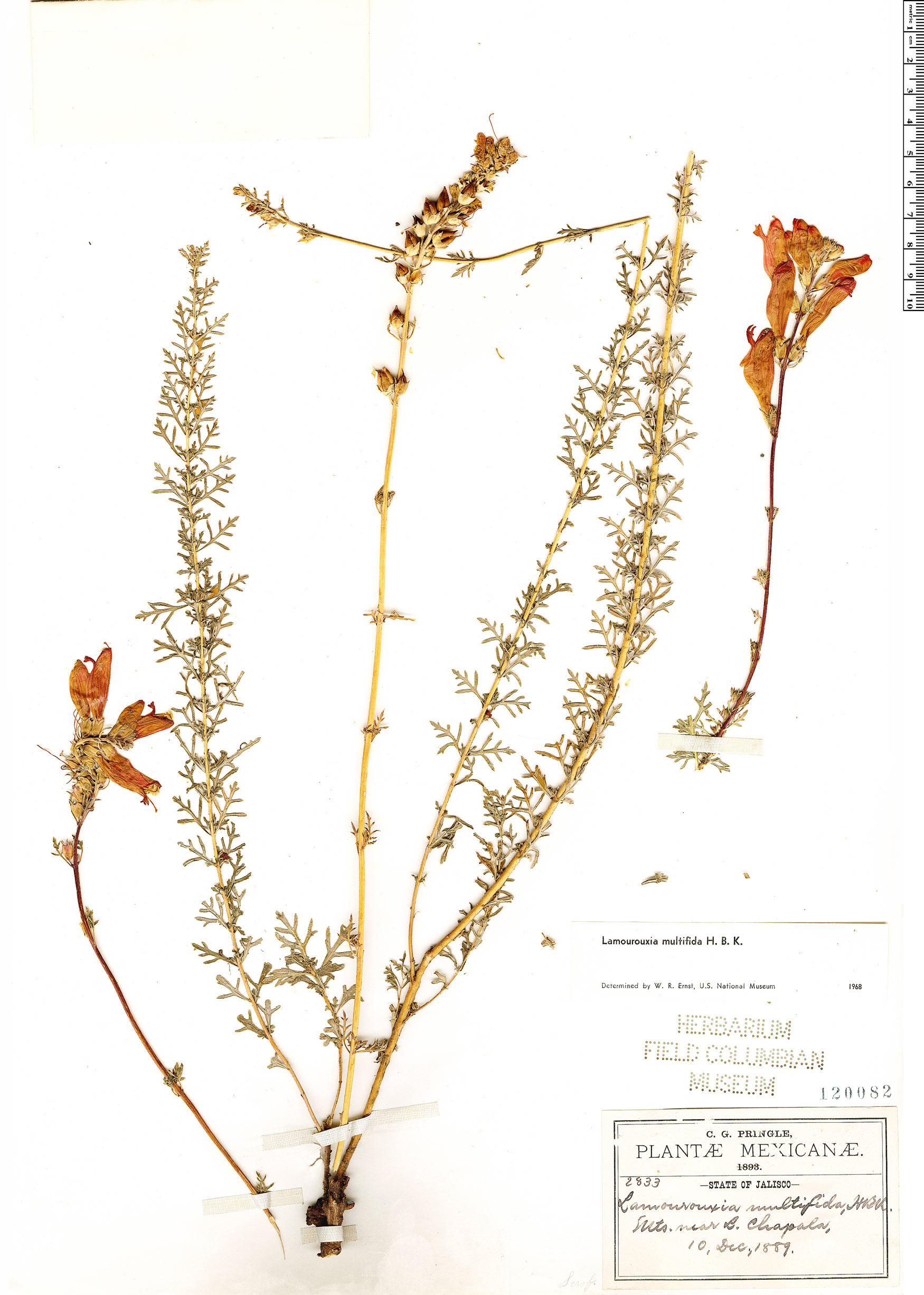 Espécimen: Lamourouxia multifida