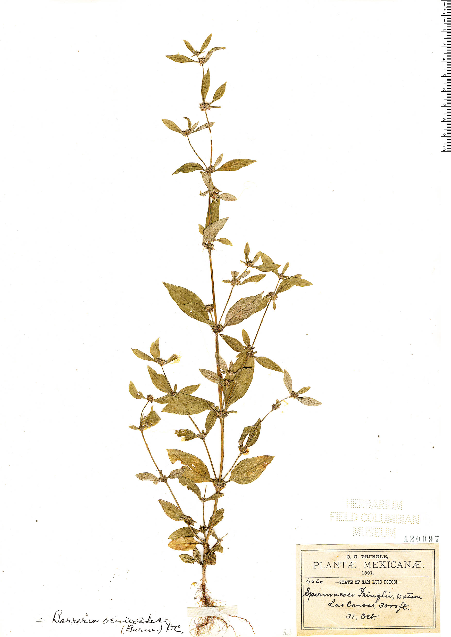 Specimen: Borreria ovalifolia