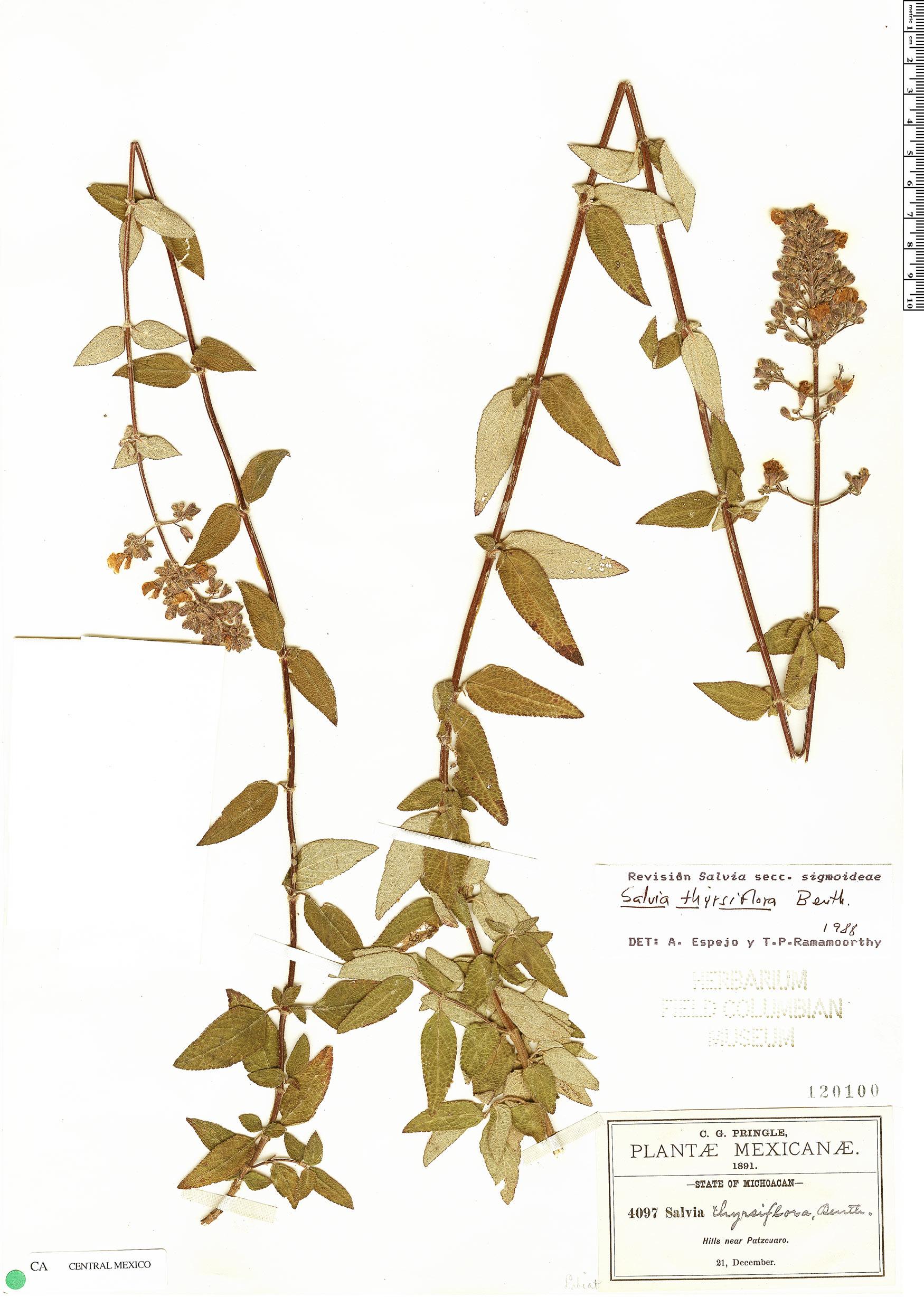 Specimen: Salvia thyrsiflora