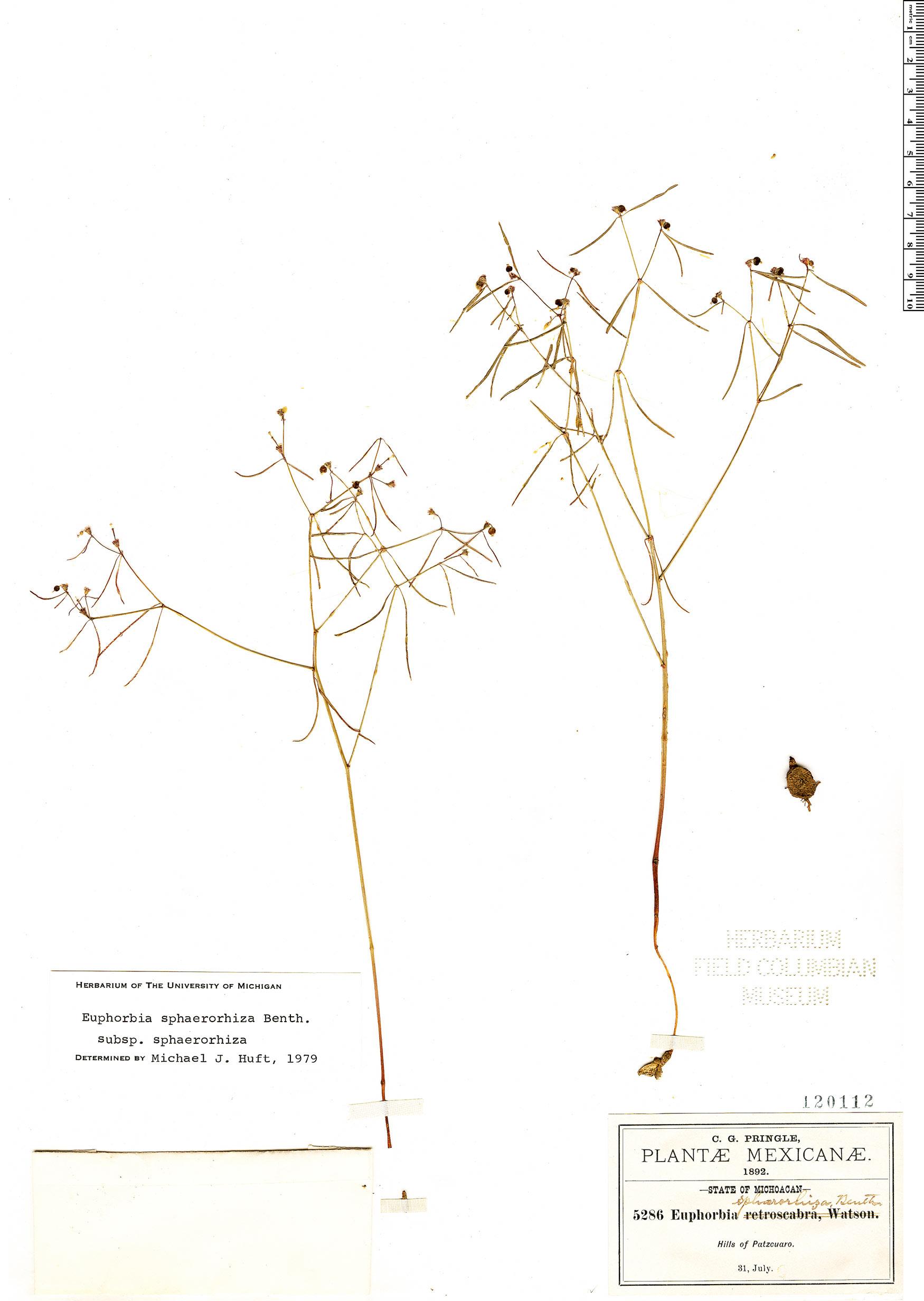 Specimen: Euphorbia sphaerorhiza