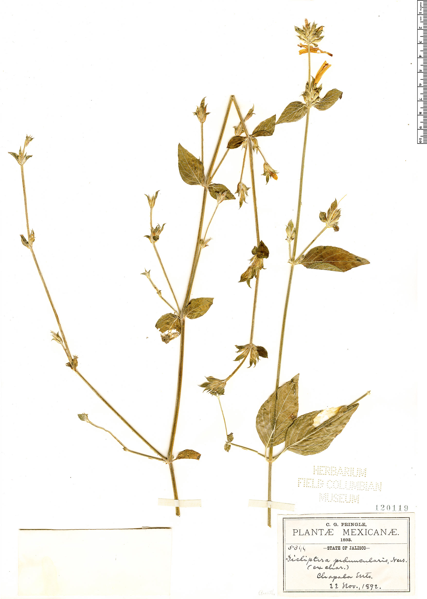 Espécimen: Dicliptera peduncularis