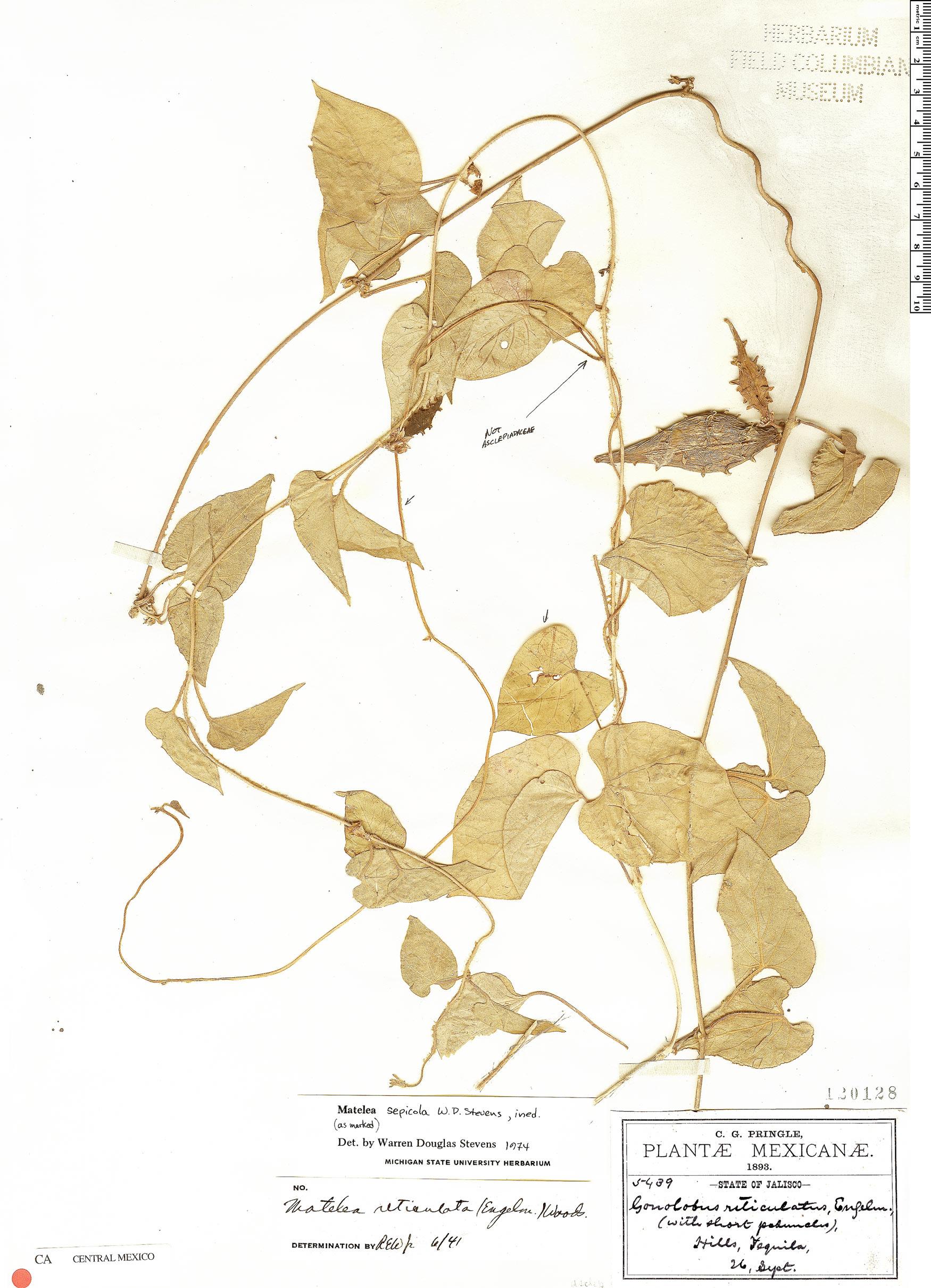 Specimen: Dictyanthus sepicola