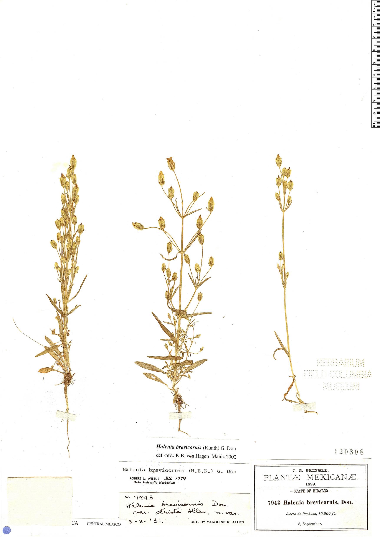 Specimen: Halenia brevicornis