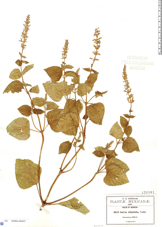 Specimen: Salvia tiliifolia