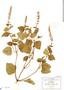 Salvia tiliifolia Vahl, Mexico, C. G. Pringle 9079, F