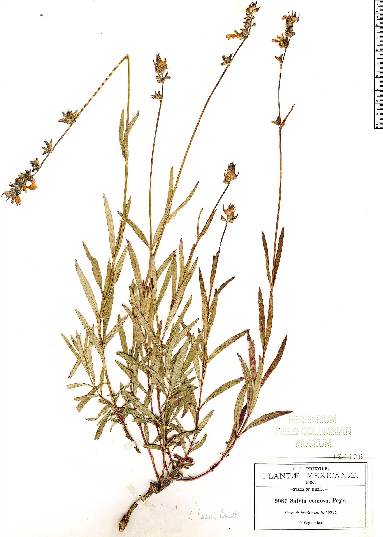 Espécime: Salvia laevis