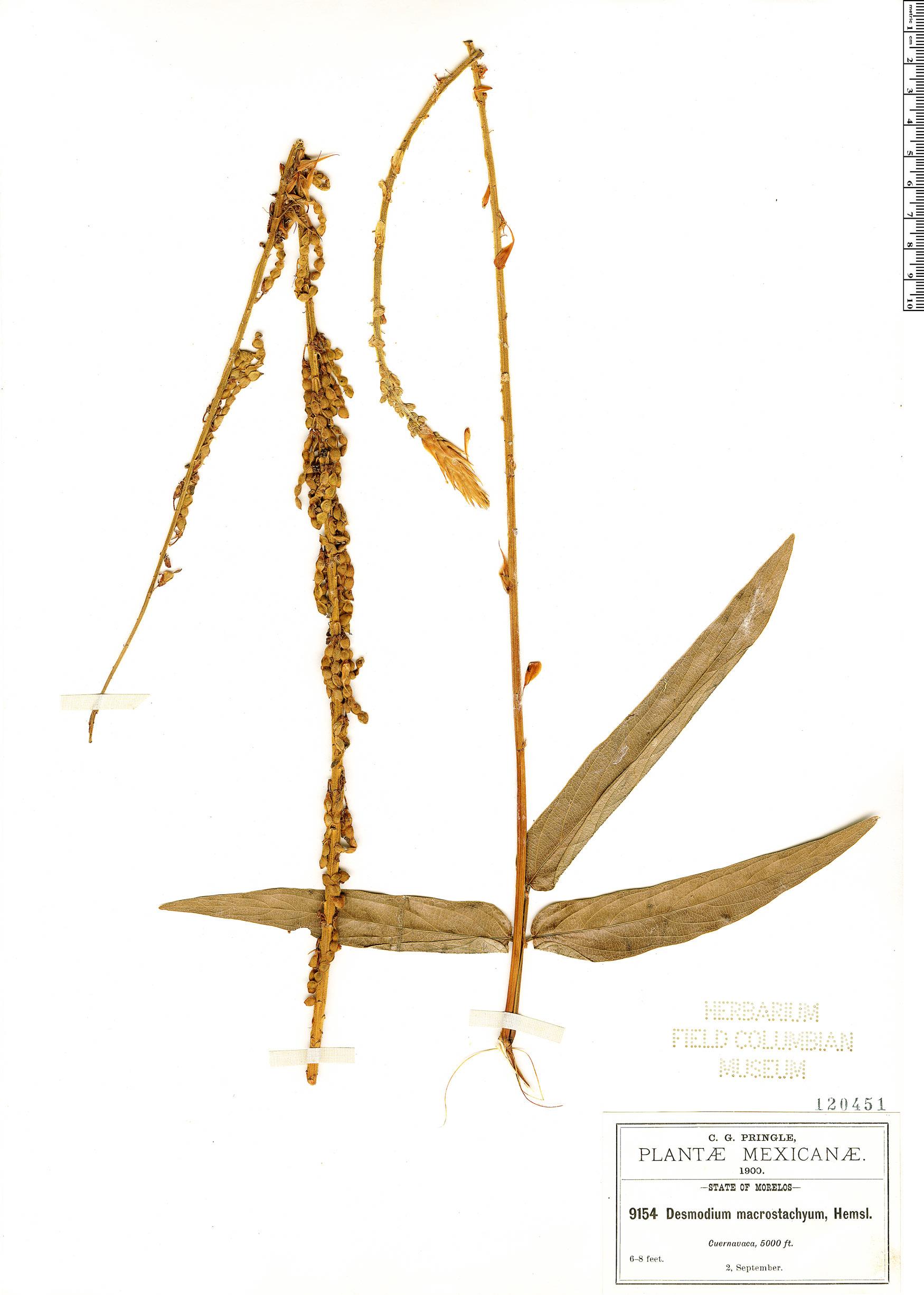 Specimen: Desmodium macrostachyum