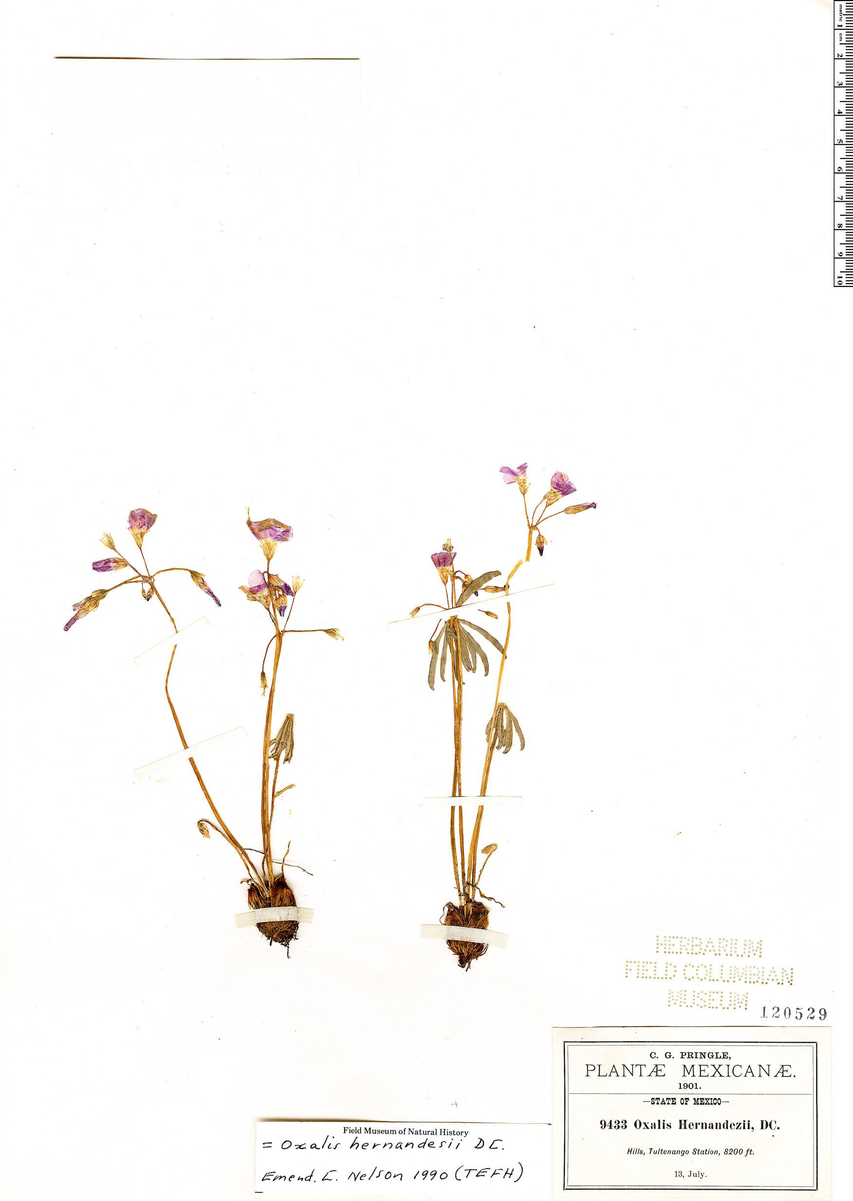 Specimen: Oxalis hernandesii