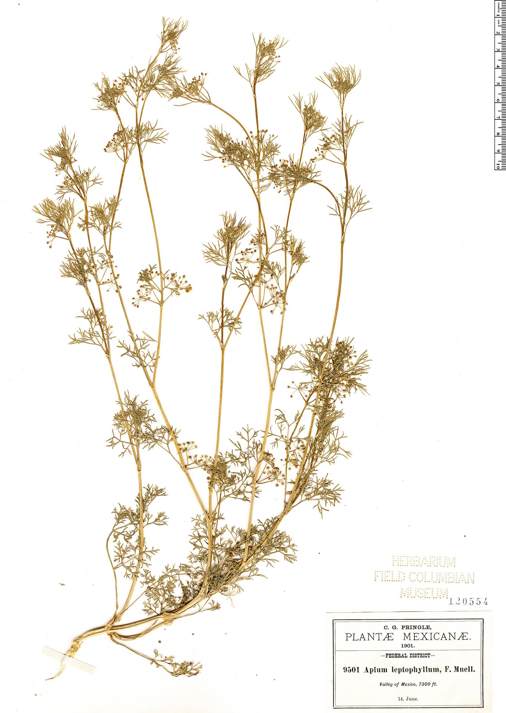 Specimen: Cyclospermum leptophyllum