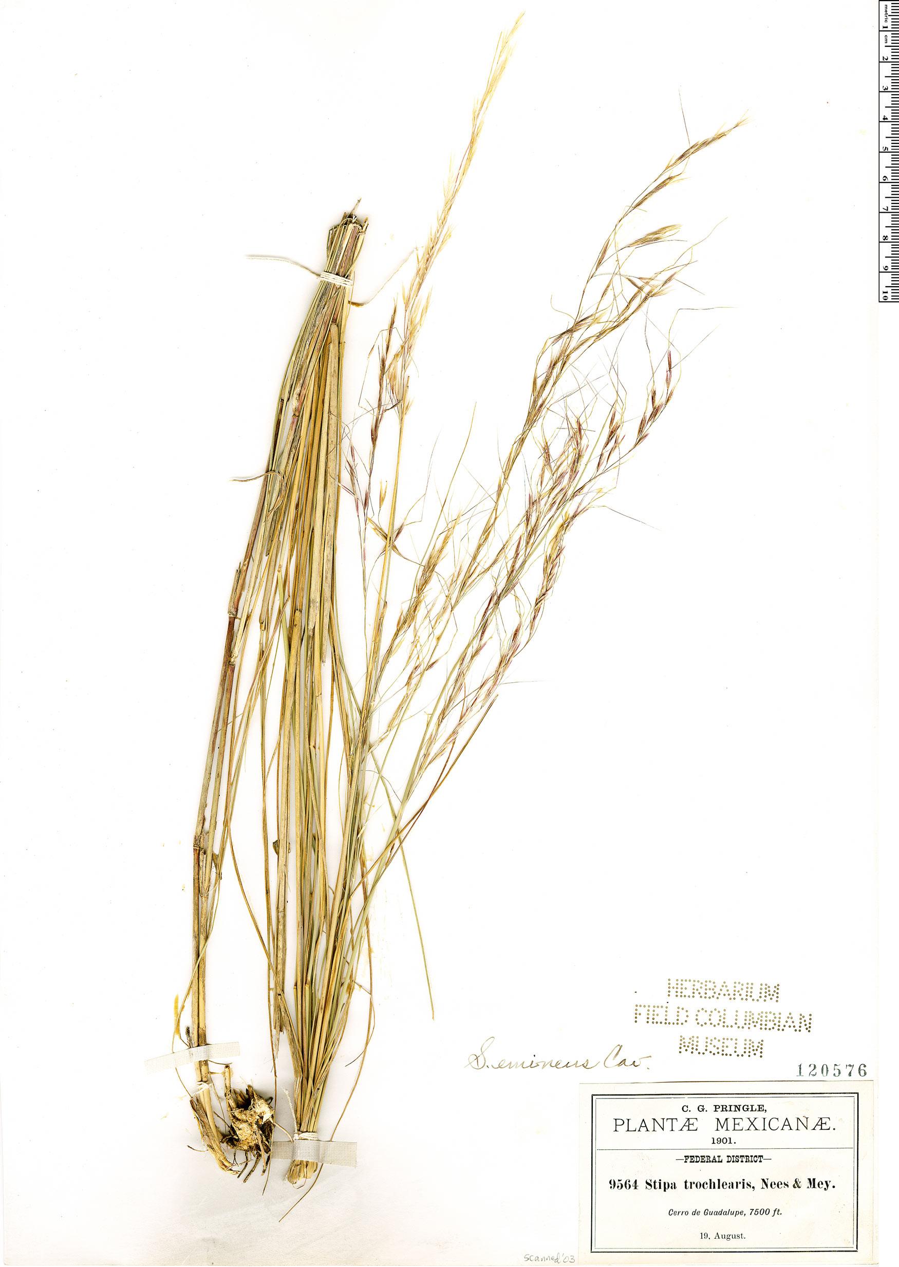Specimen: Achnatherum eminens