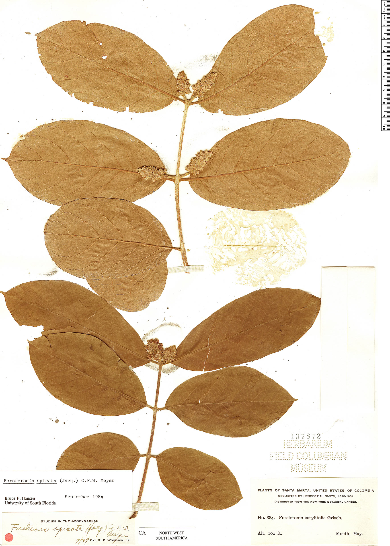 Specimen: Forsteronia spicata