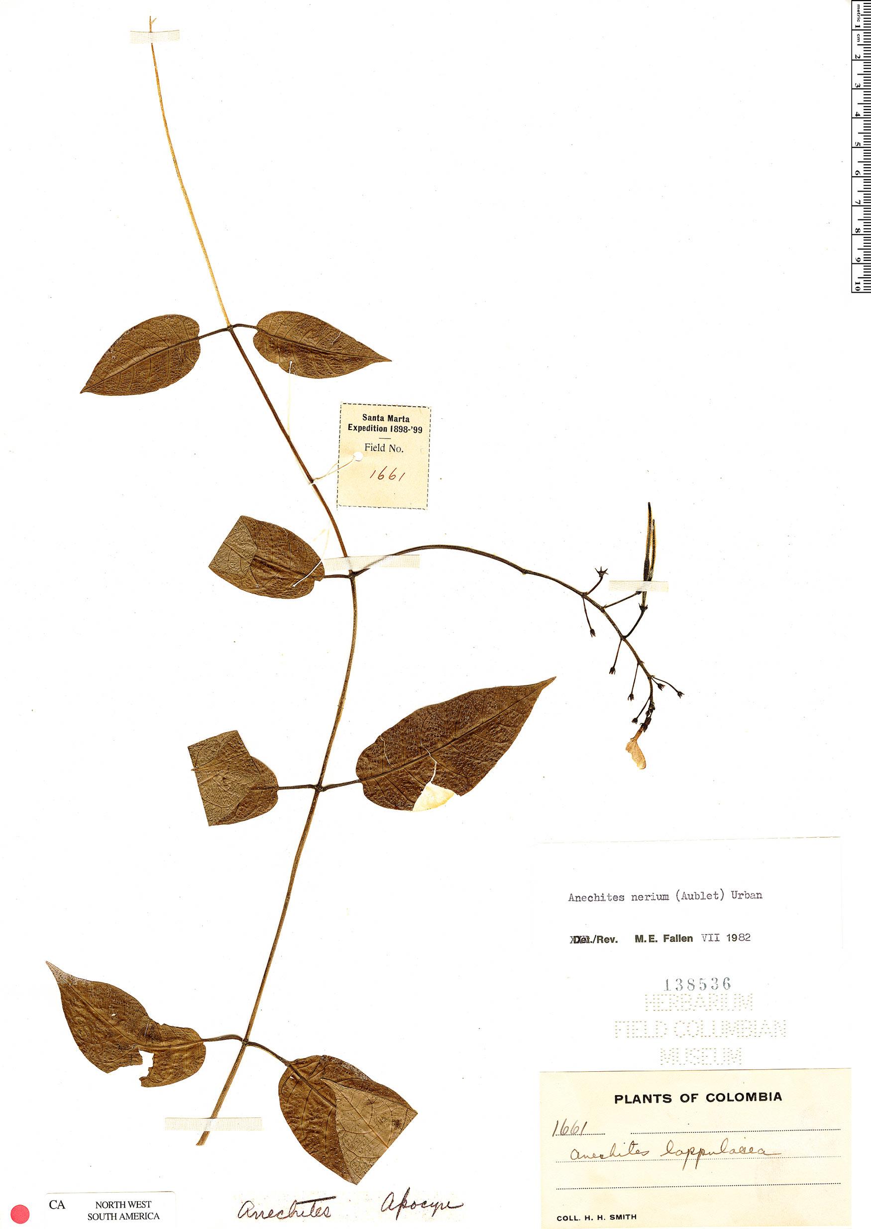 Specimen: Anechites nerium