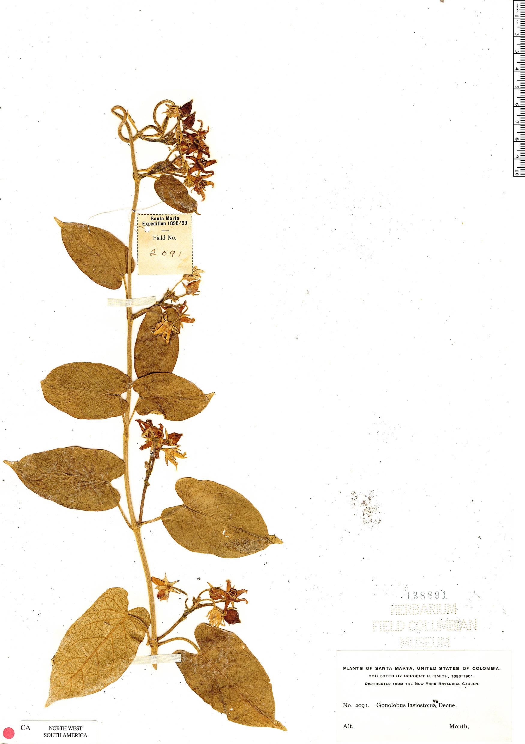 Specimen: Gonolobus lasiostomus