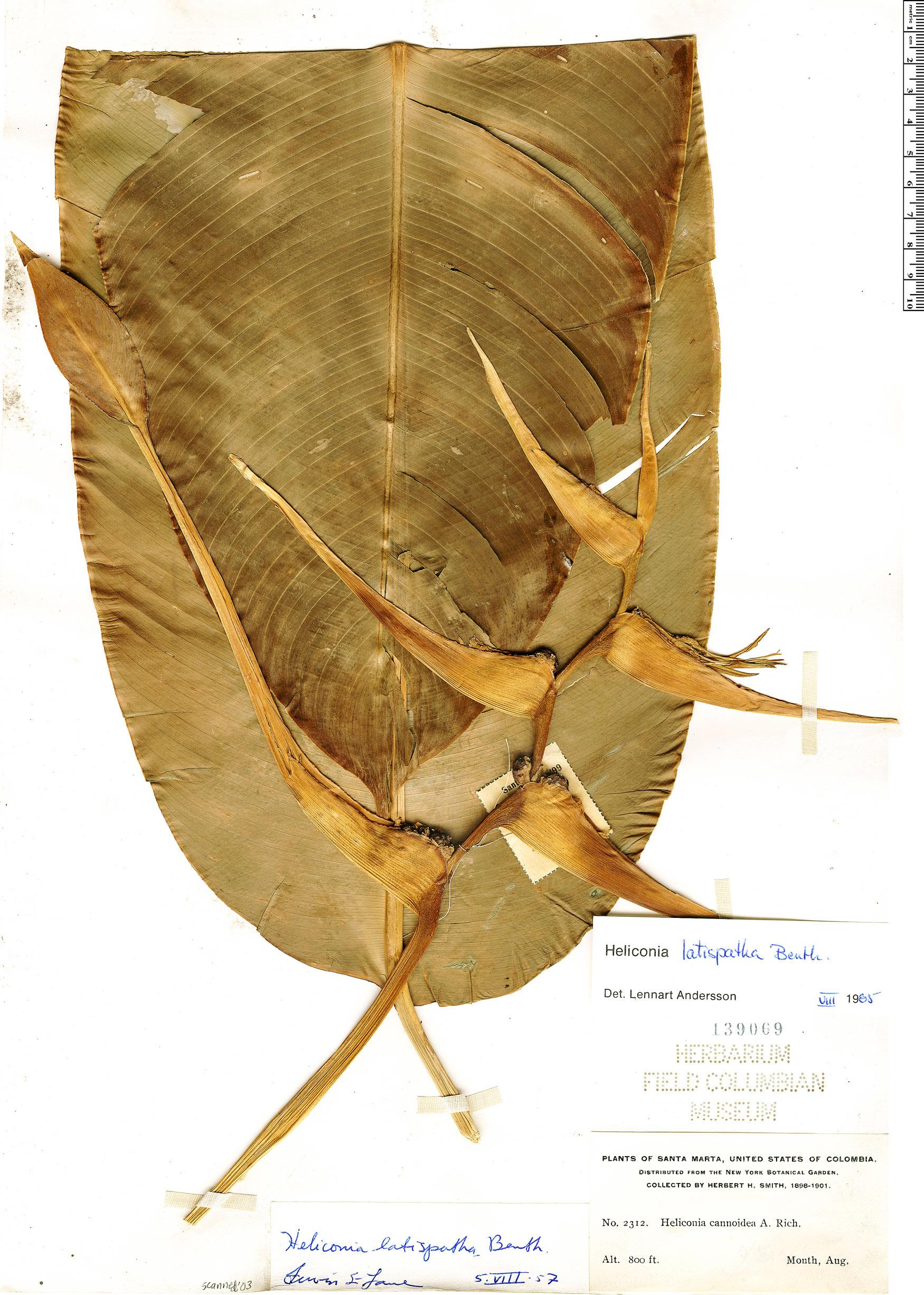 Espécime: Heliconia latispatha