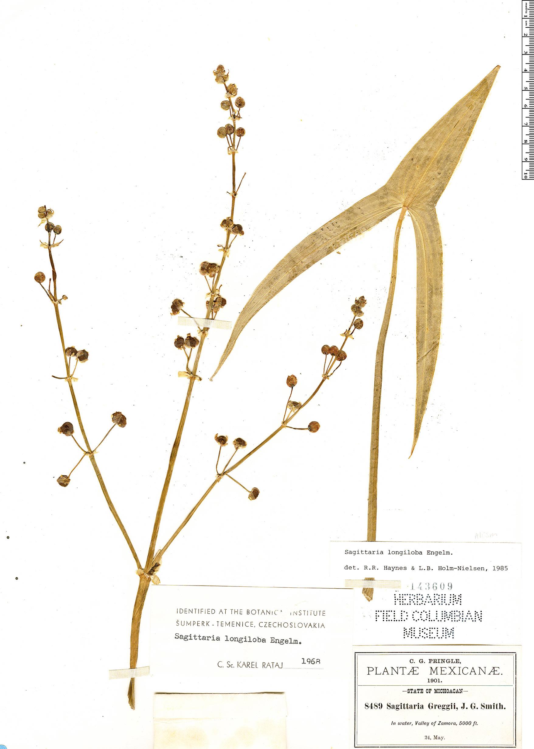 Specimen: Sagittaria longiloba