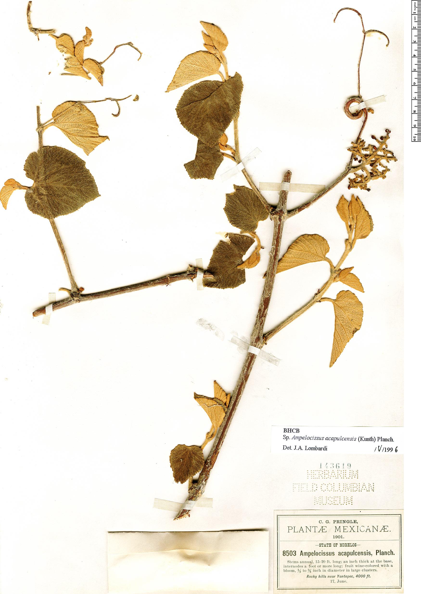 Specimen: Ampelocissus acapulcensis