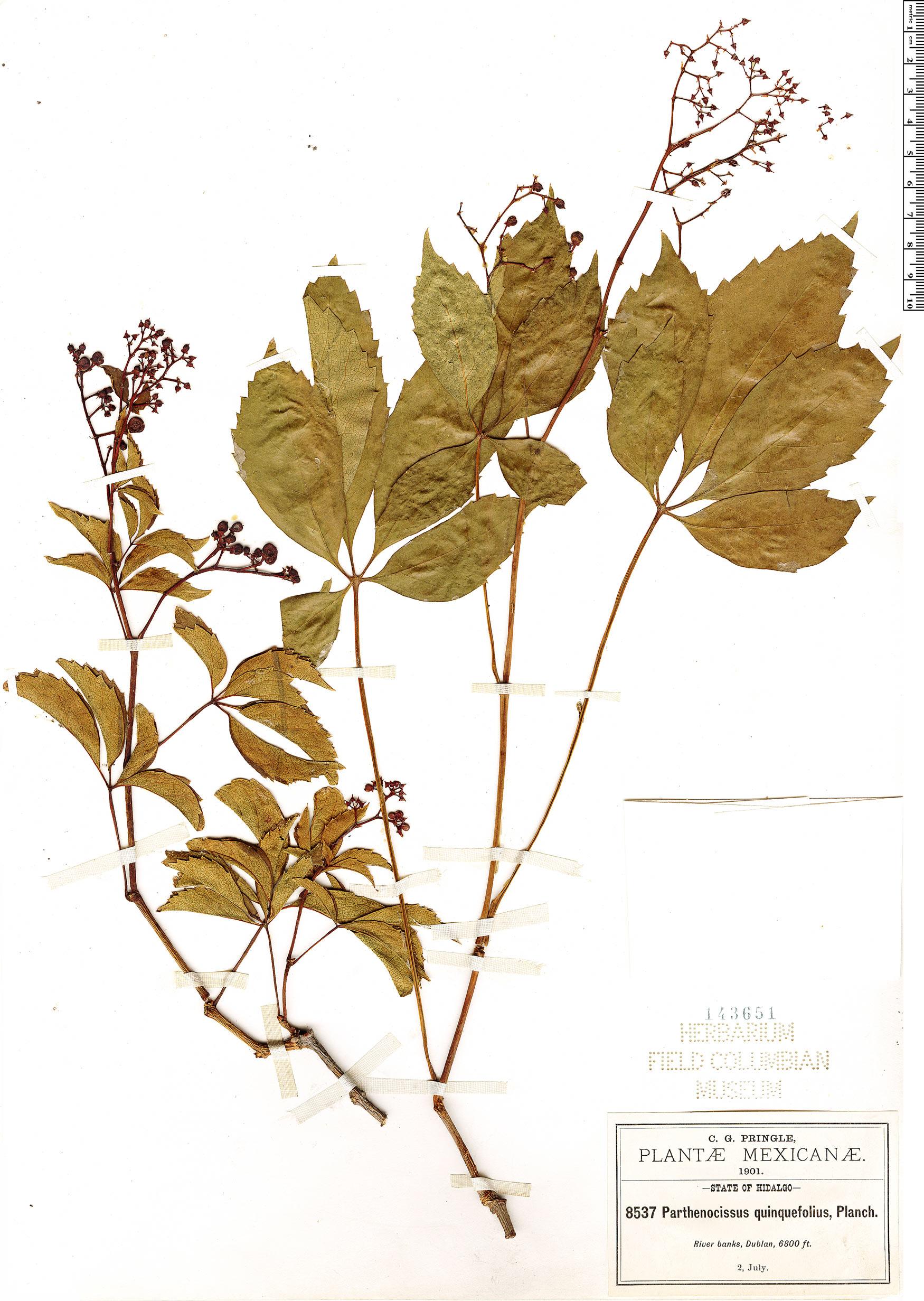Specimen: Parthenocissus quinquefolia
