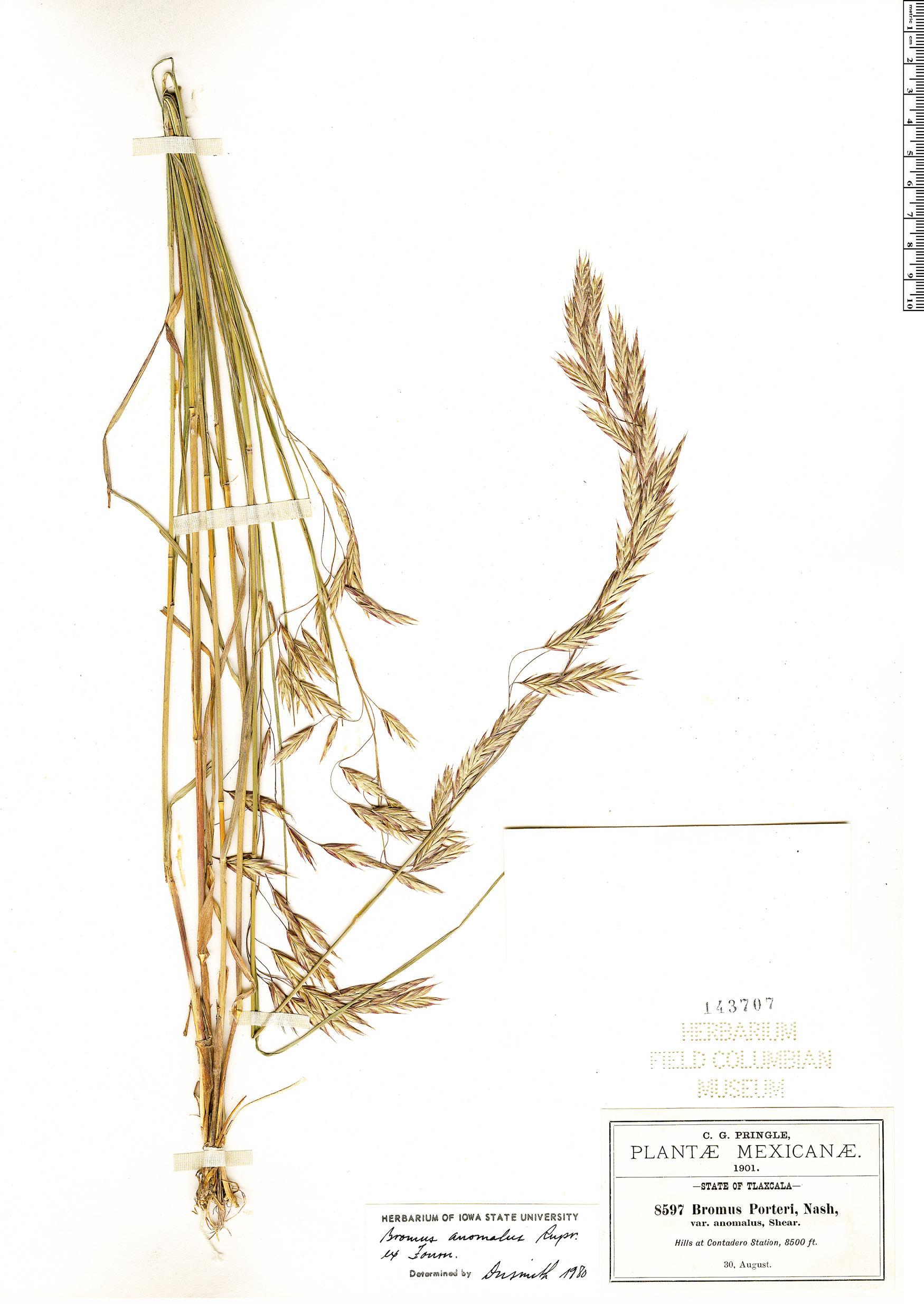 Specimen: Bromus anomalus