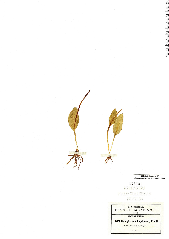 Specimen: Ophioglossum engelmannii