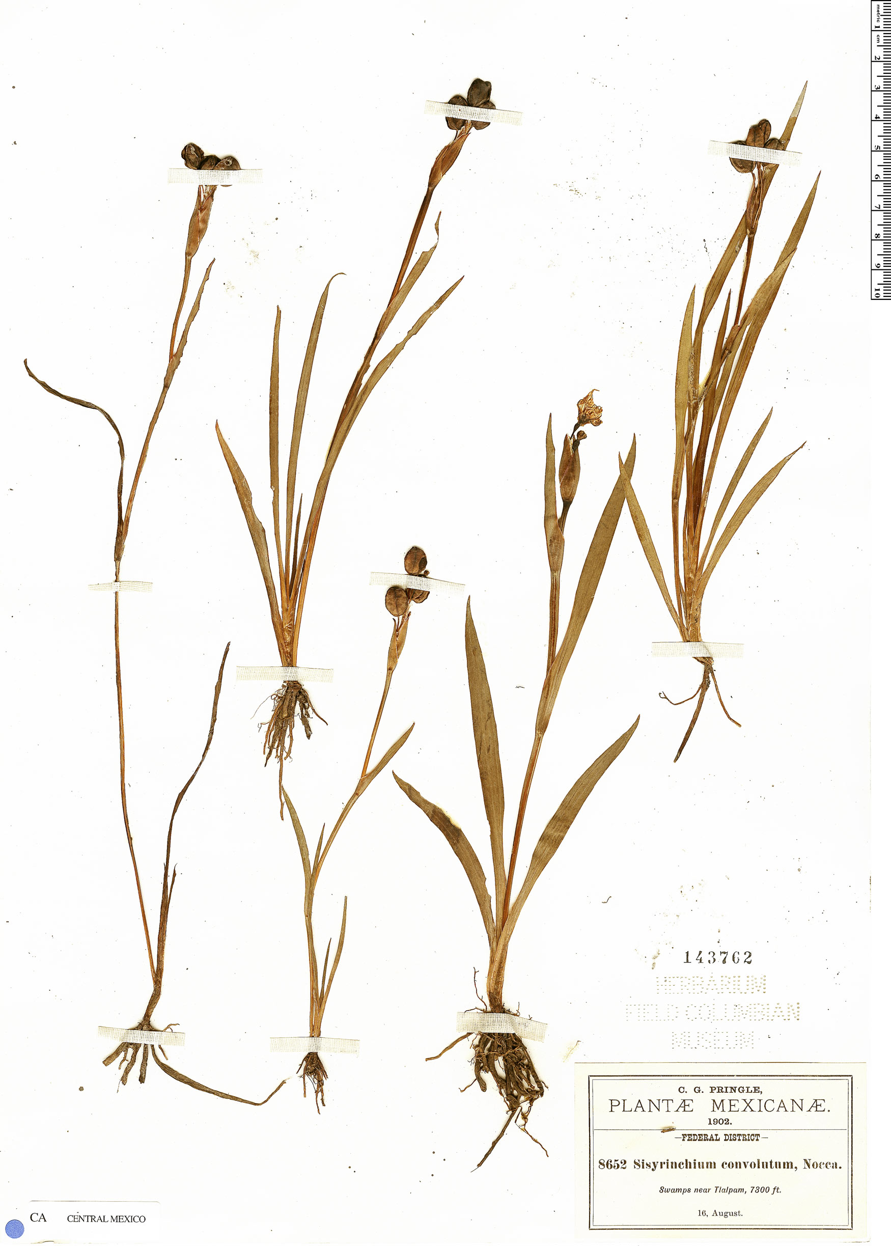 Specimen: Sisyrinchium convolutum