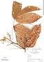 Paullinia latifolia Benth., Colombia, R. E. Schultes 3827, F