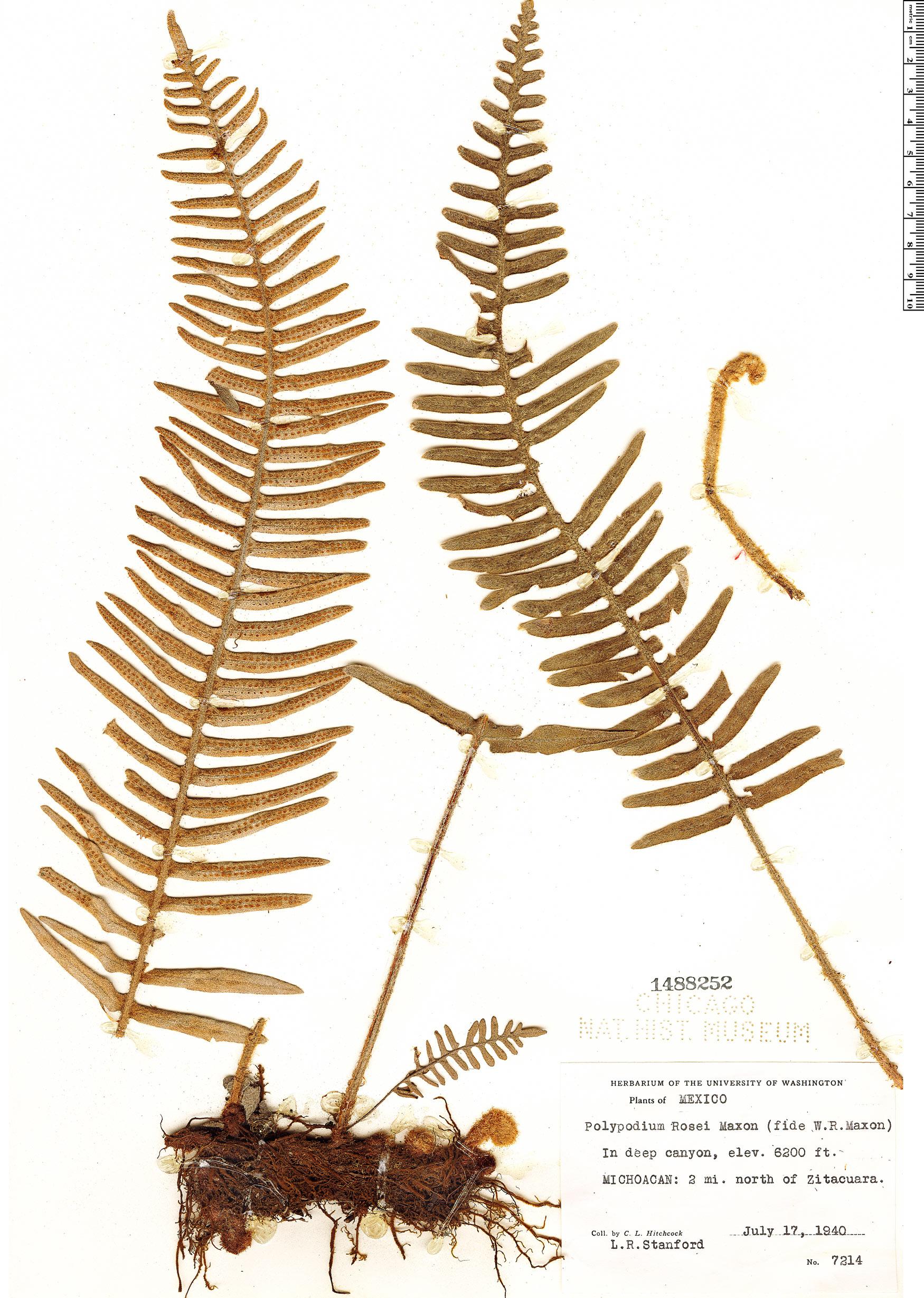 Specimen: Polypodium rosei