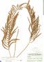 Thelypteris augescens (Link) Munz & I. M. Johnst., BAHAMAS, C. F. Millspaugh 2067, F