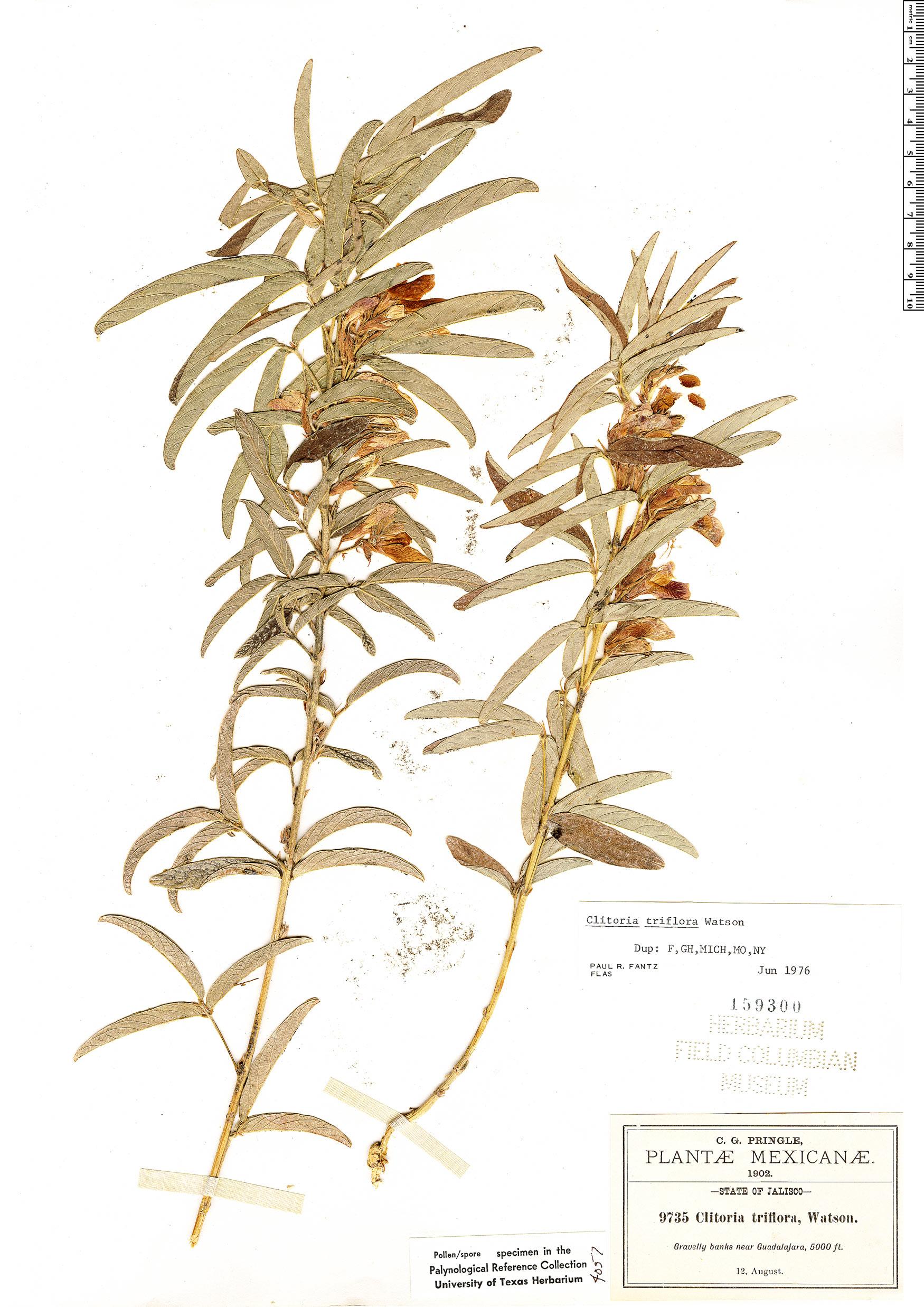 Specimen: Clitoria triflora