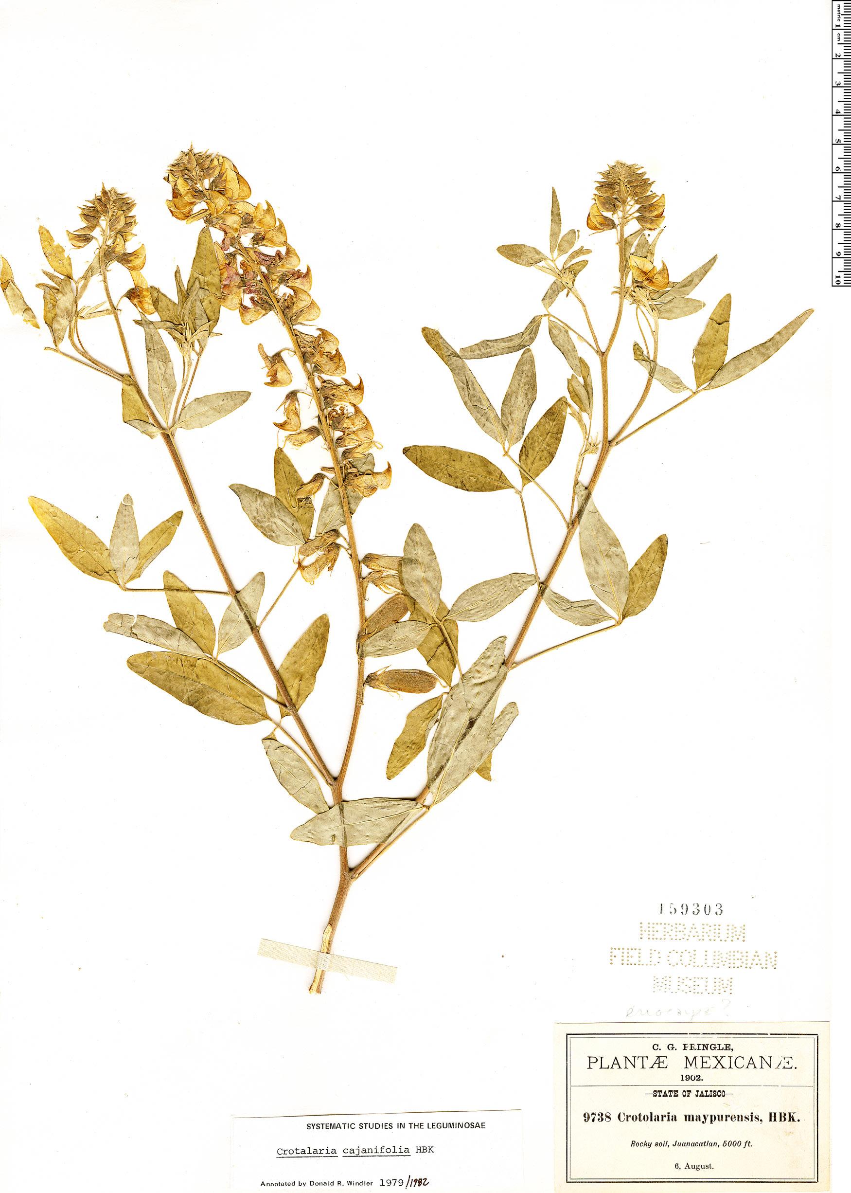 Specimen: Crotalaria cajanifolia