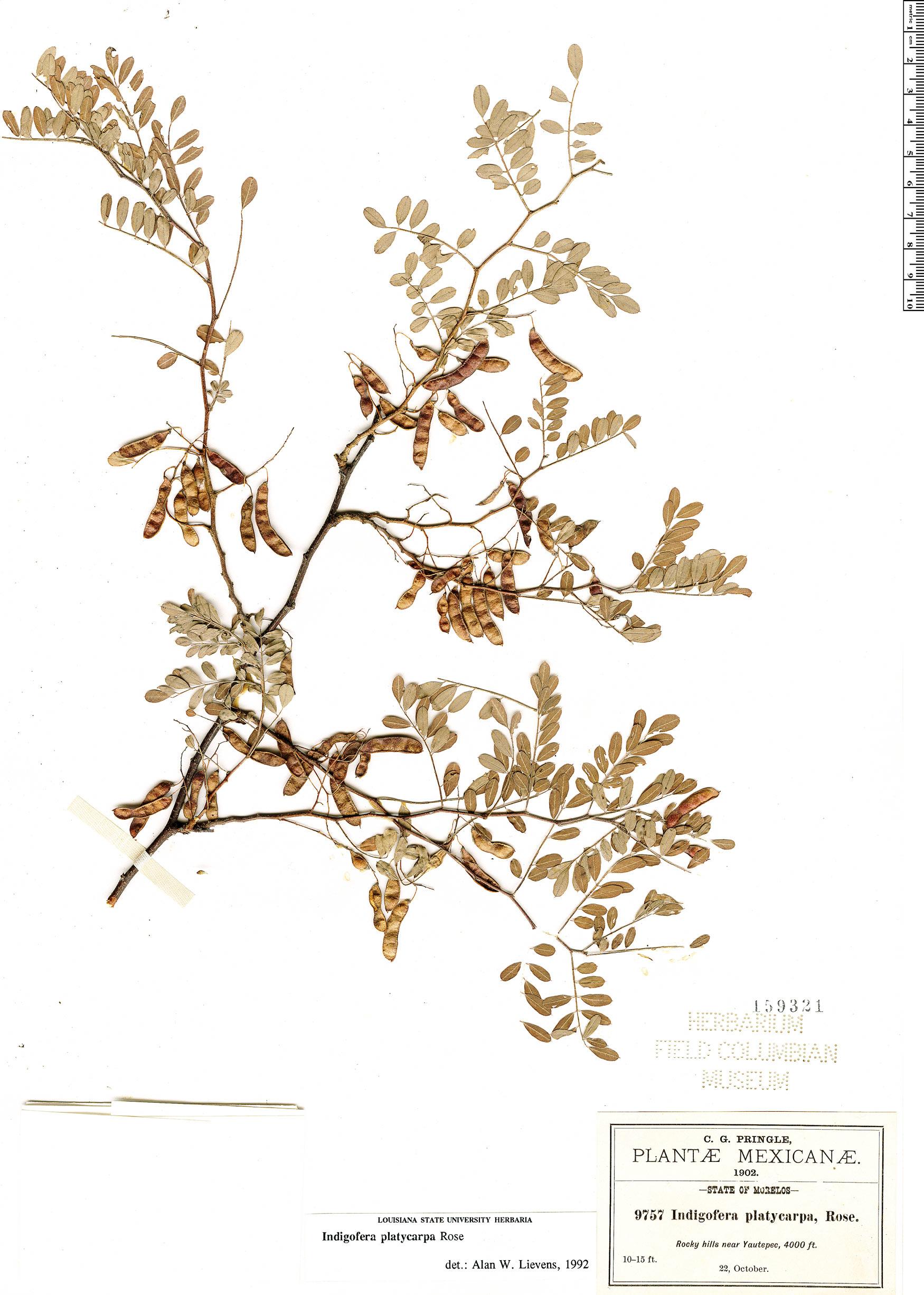 Specimen: Indigofera platycarpa