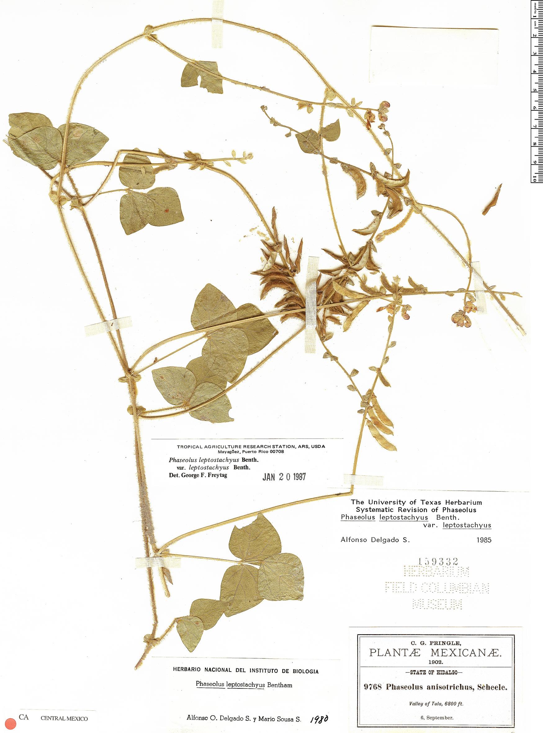 Specimen: Phaseolus leptostachyus