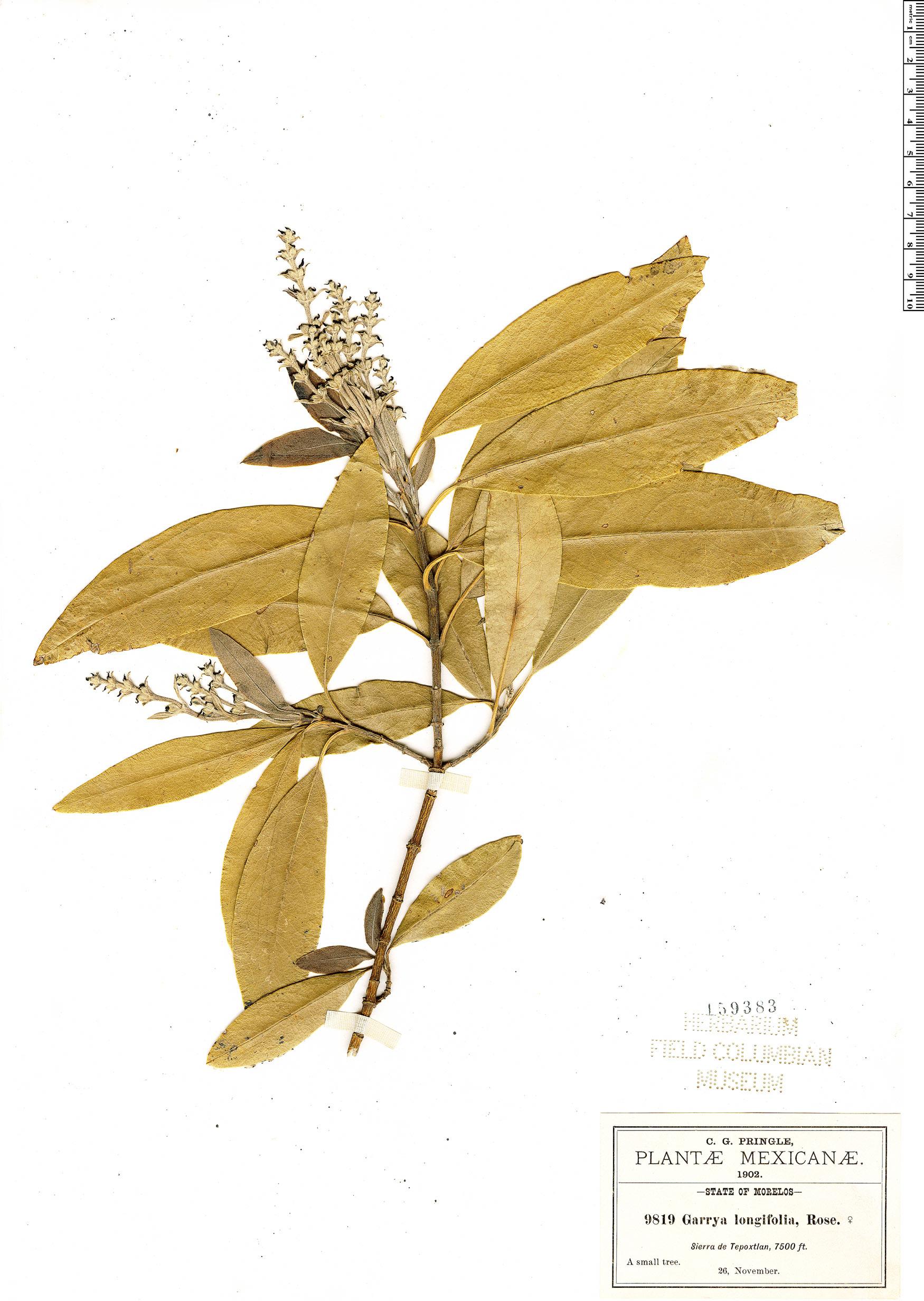 Specimen: Garrya longifolia