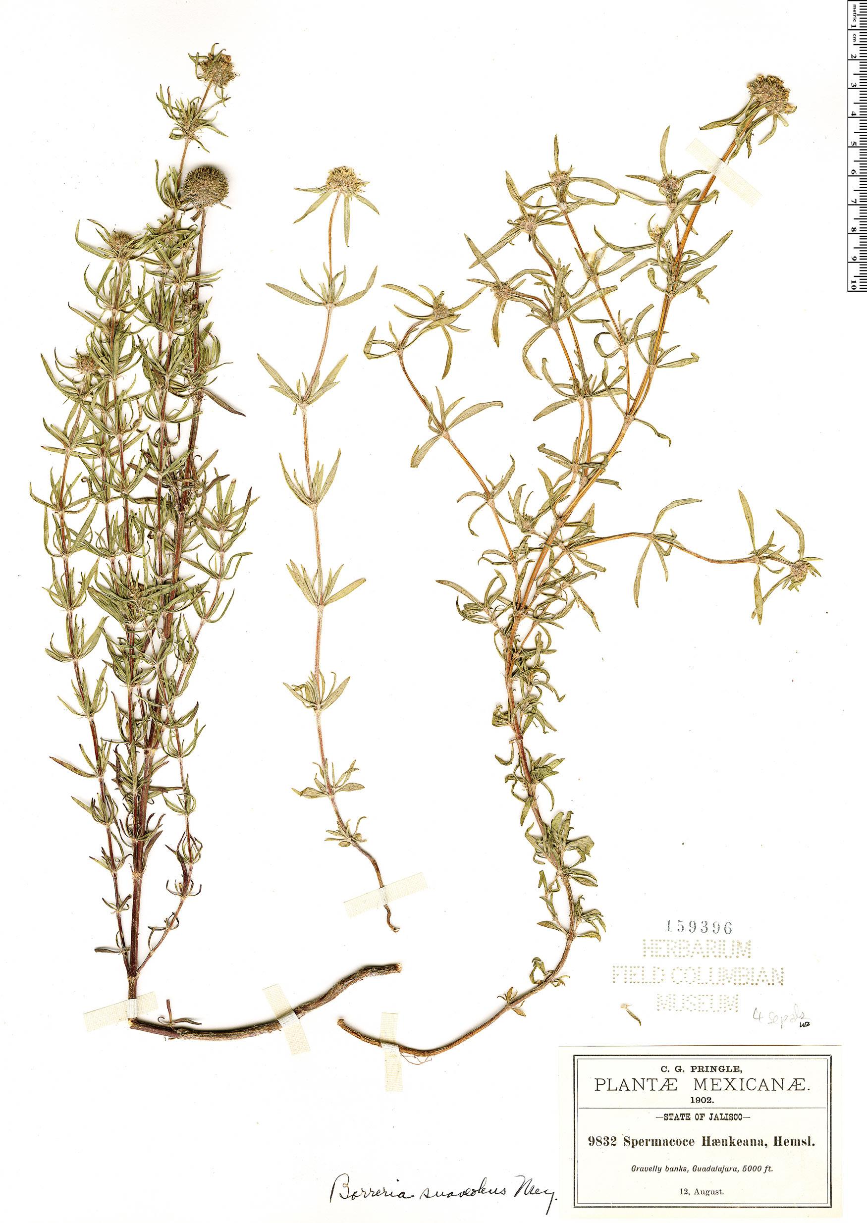 Specimen: Borreria suaveolens