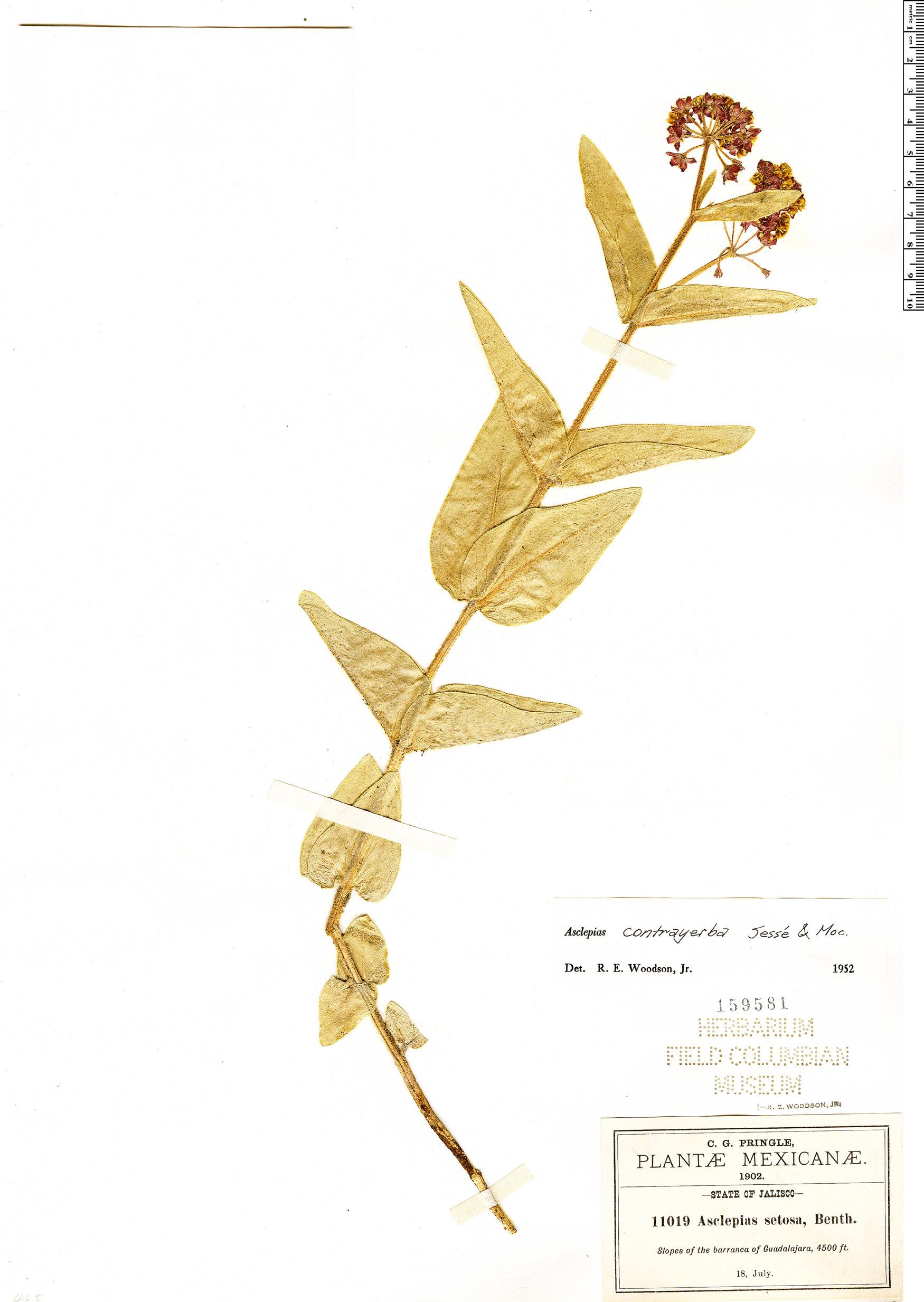 Specimen: Asclepias contrayerba