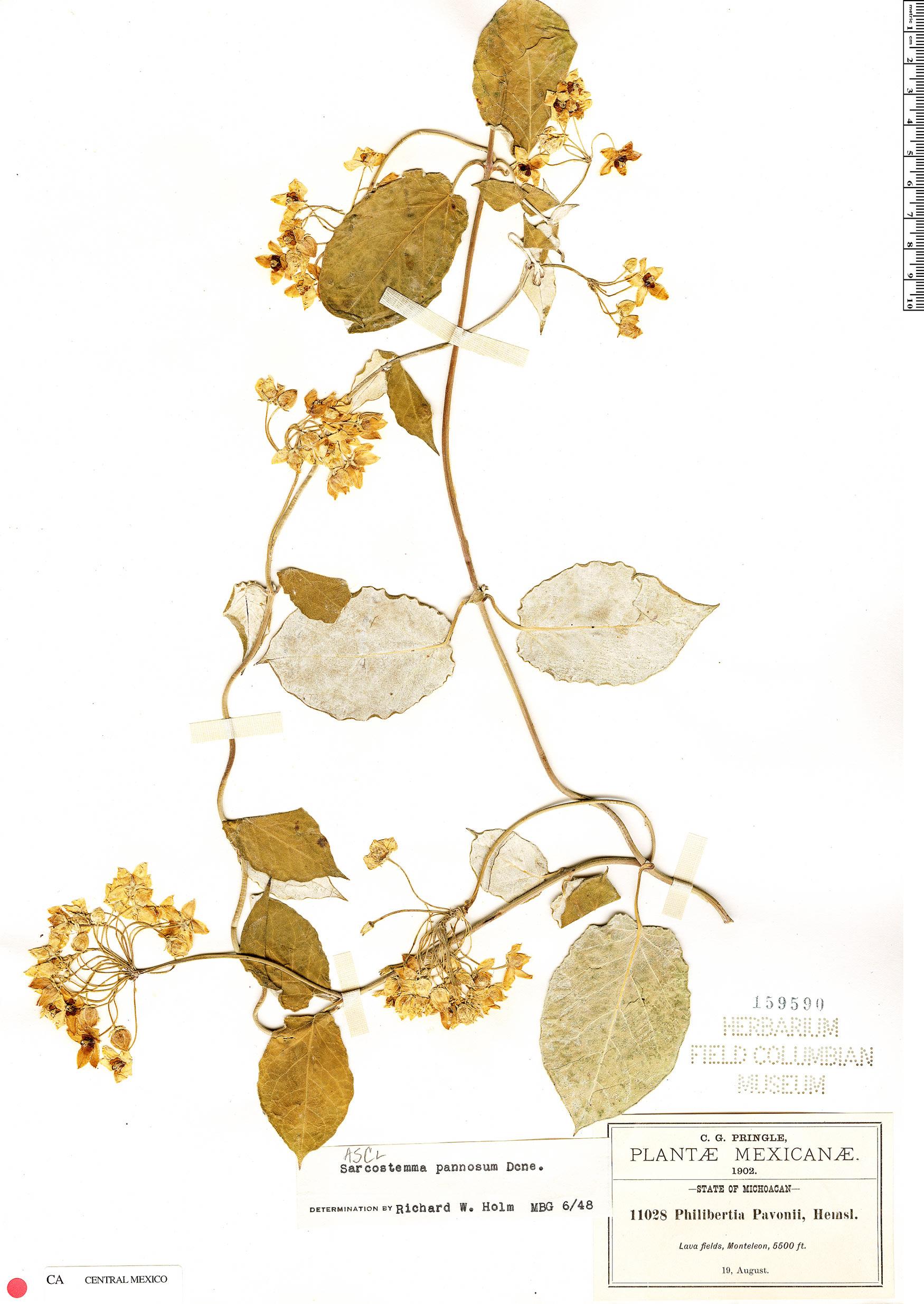Espécimen: Funastrum pannosum