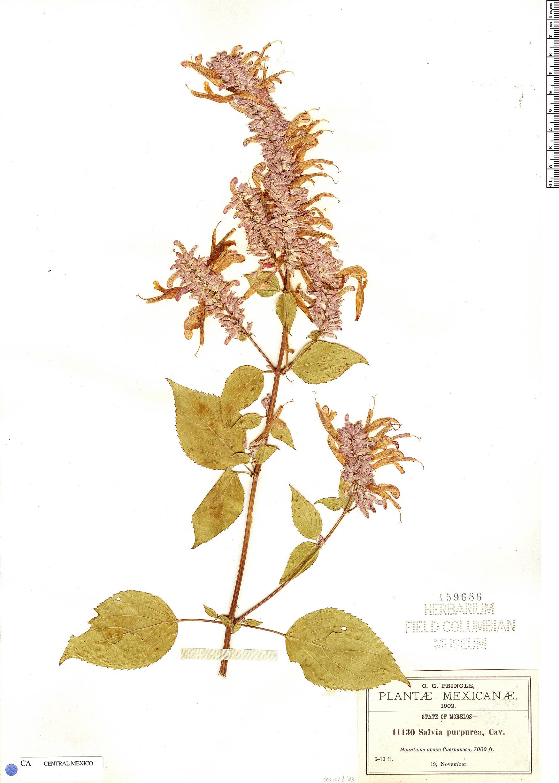 Specimen: Salvia purpurea