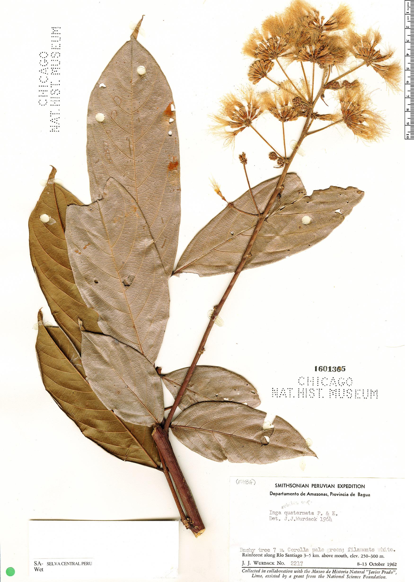 Espécime: Inga nobilis