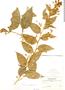 Cestrum strigilatum, Bolivia, M. Bang 1189, F