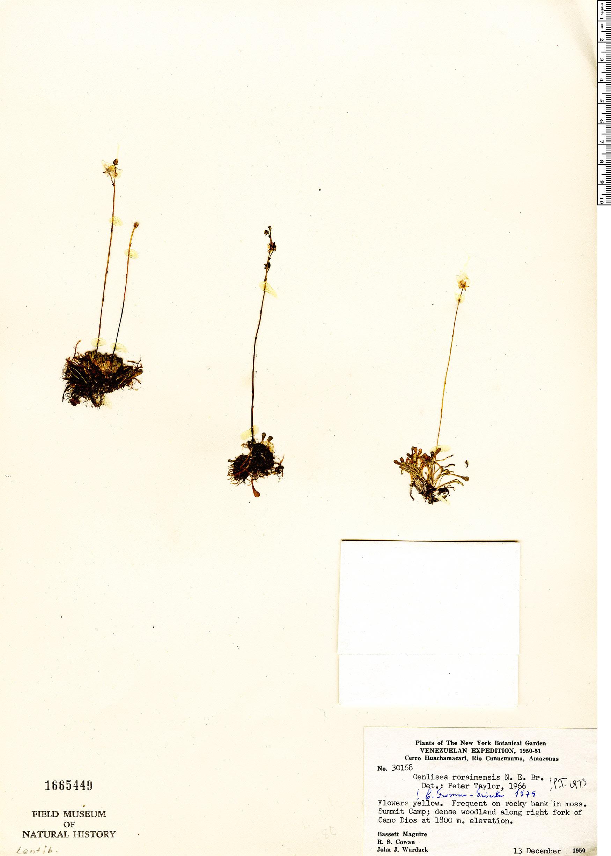 Specimen: Genlisea roraimensis