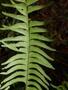 Lindsaea taeniata image