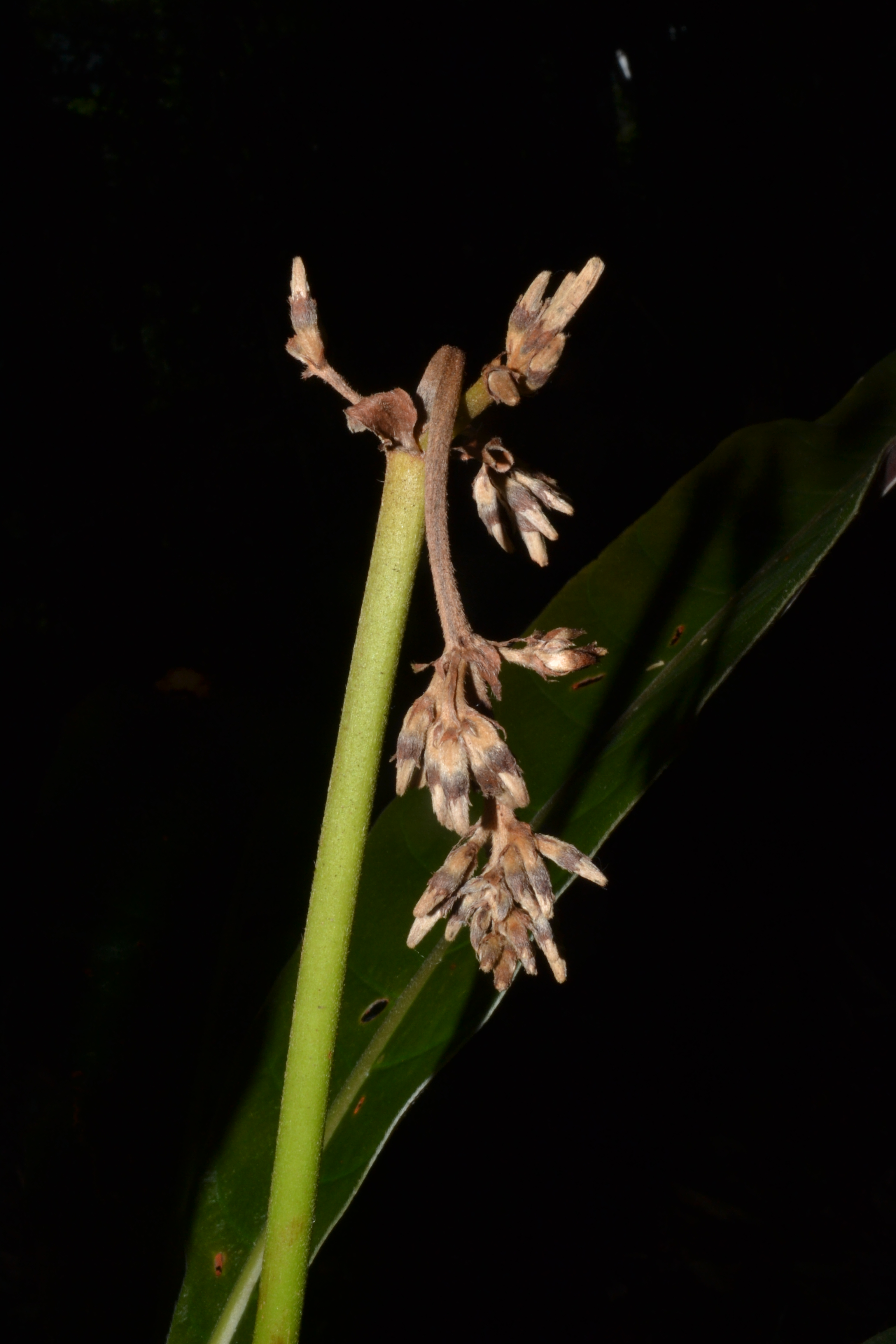 Specimen: Remijia chelomaphylla