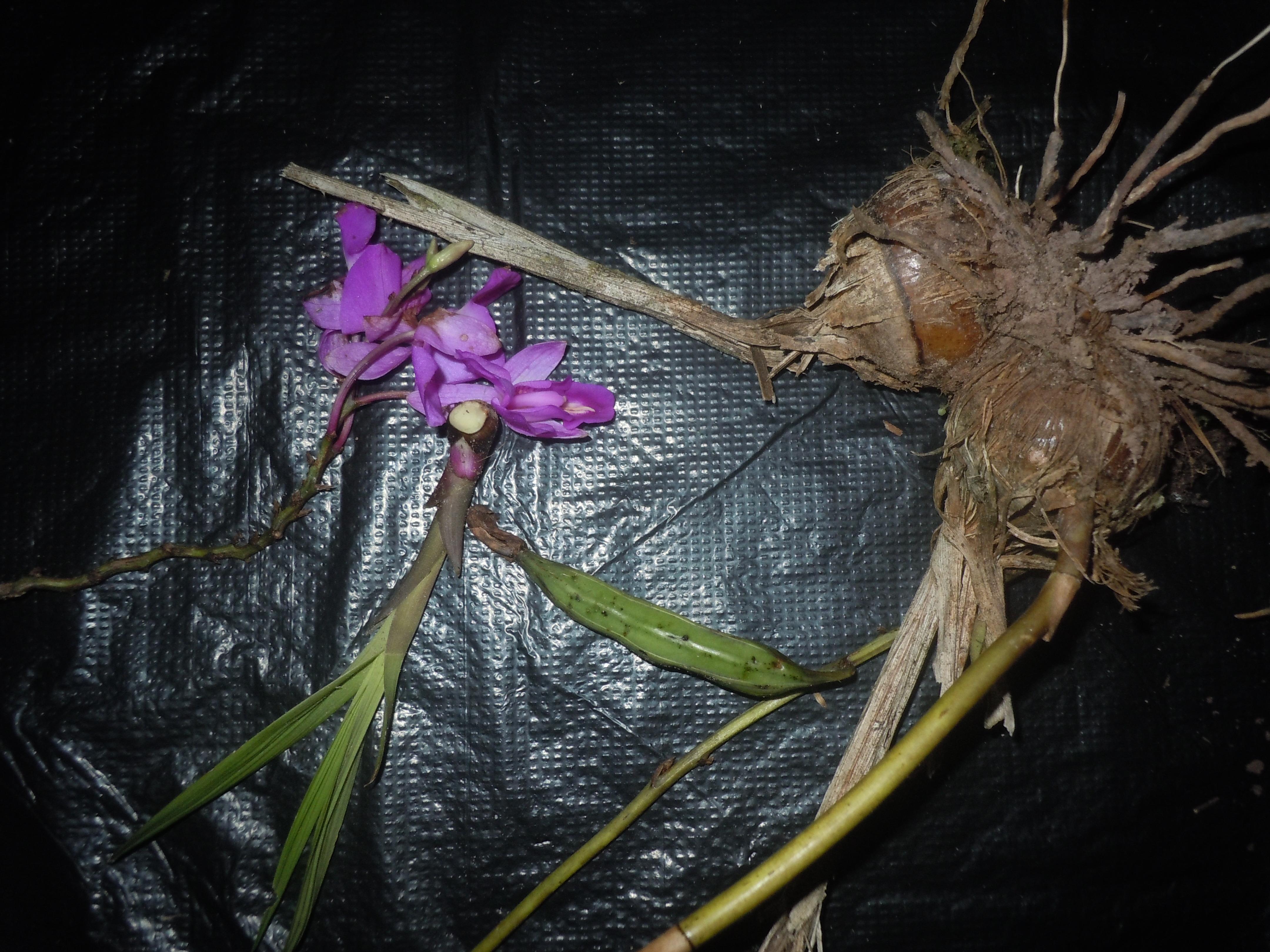 Espécimen: Bletia catenulata