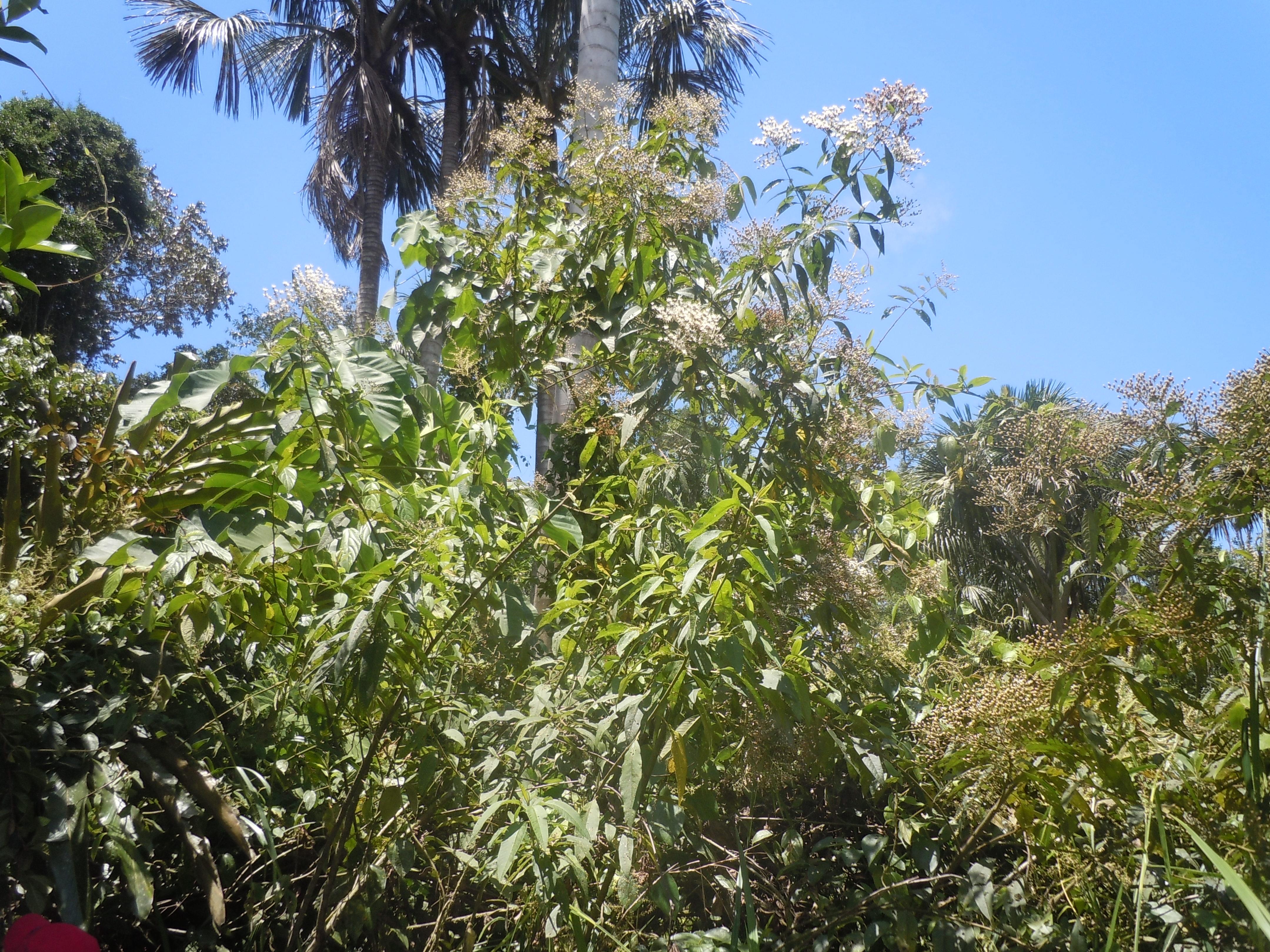 Specimen: Vernonia