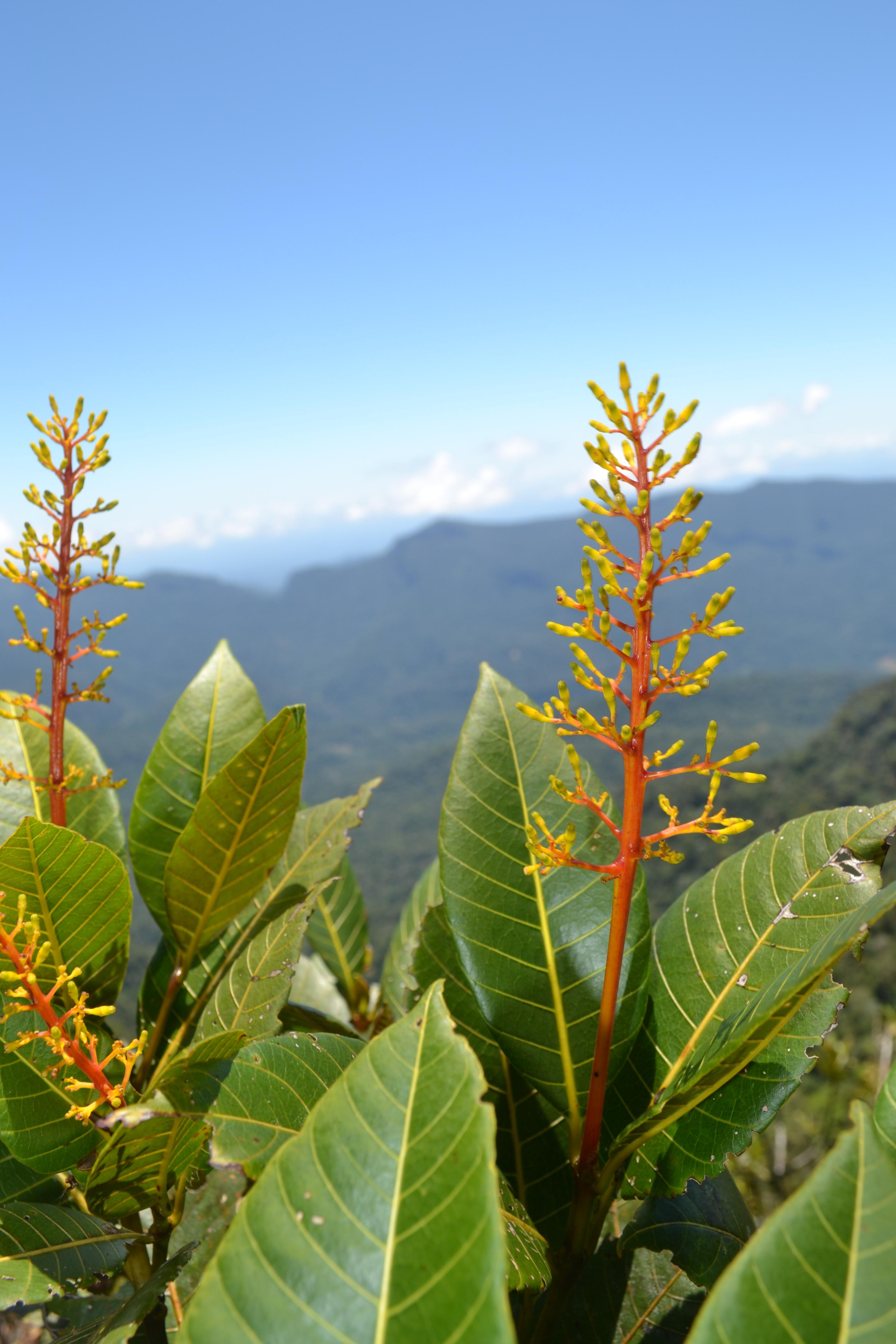 Specimen: Palicourea hollinensis