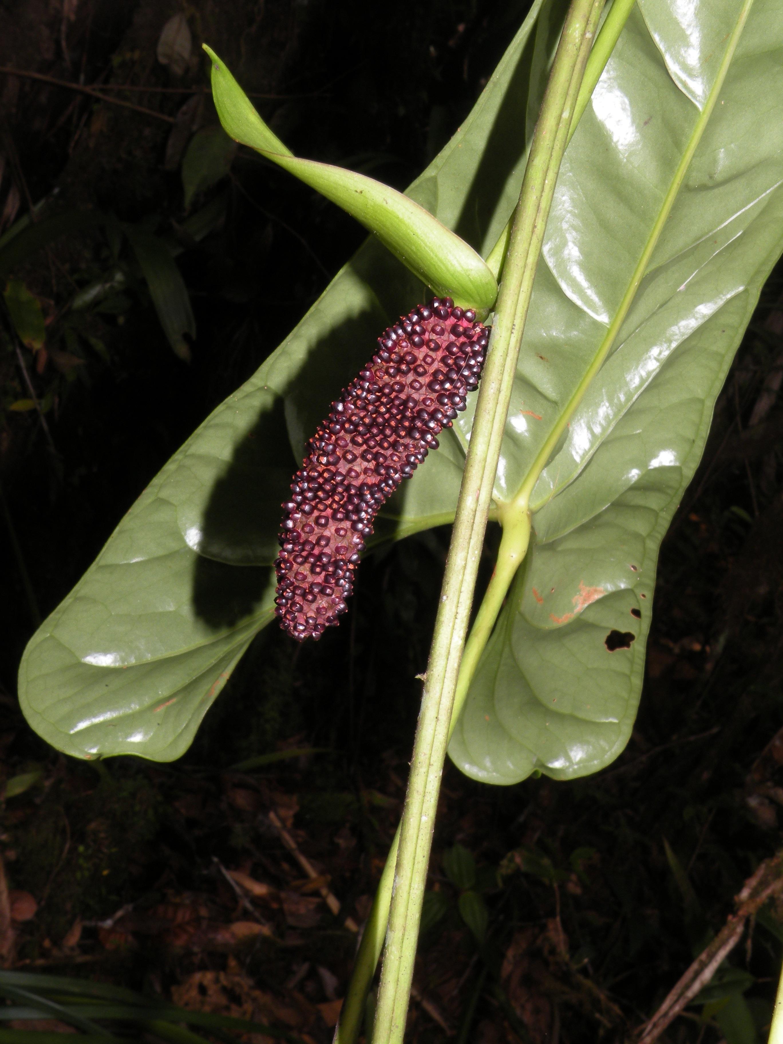 Specimen: Anthurium atropurpureum