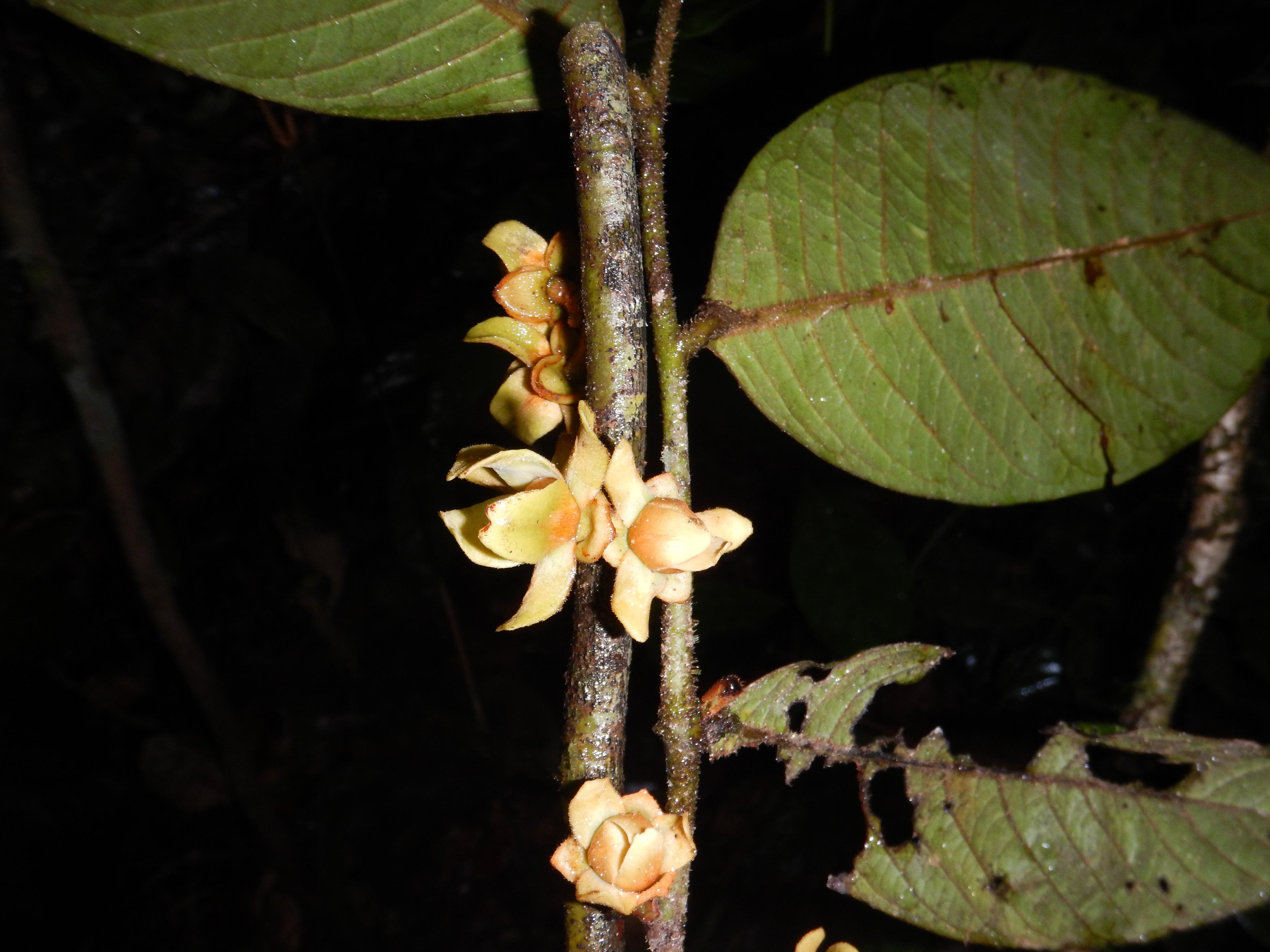 Specimen: Guatteria ucayalina
