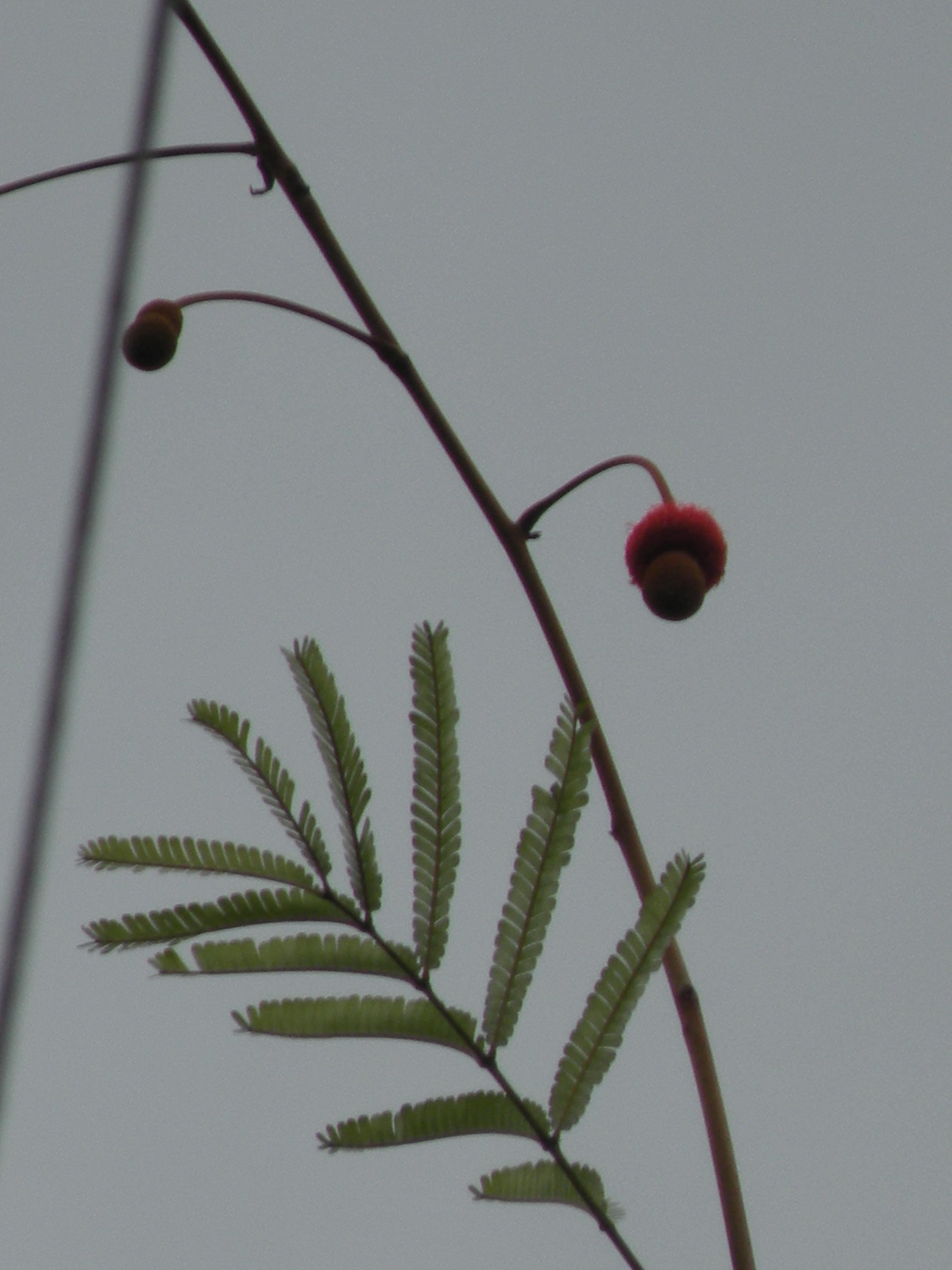 Specimen: Parkia igneiflora