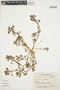 Amaranthus lividus image