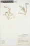 Amaranthus sclerantoides image